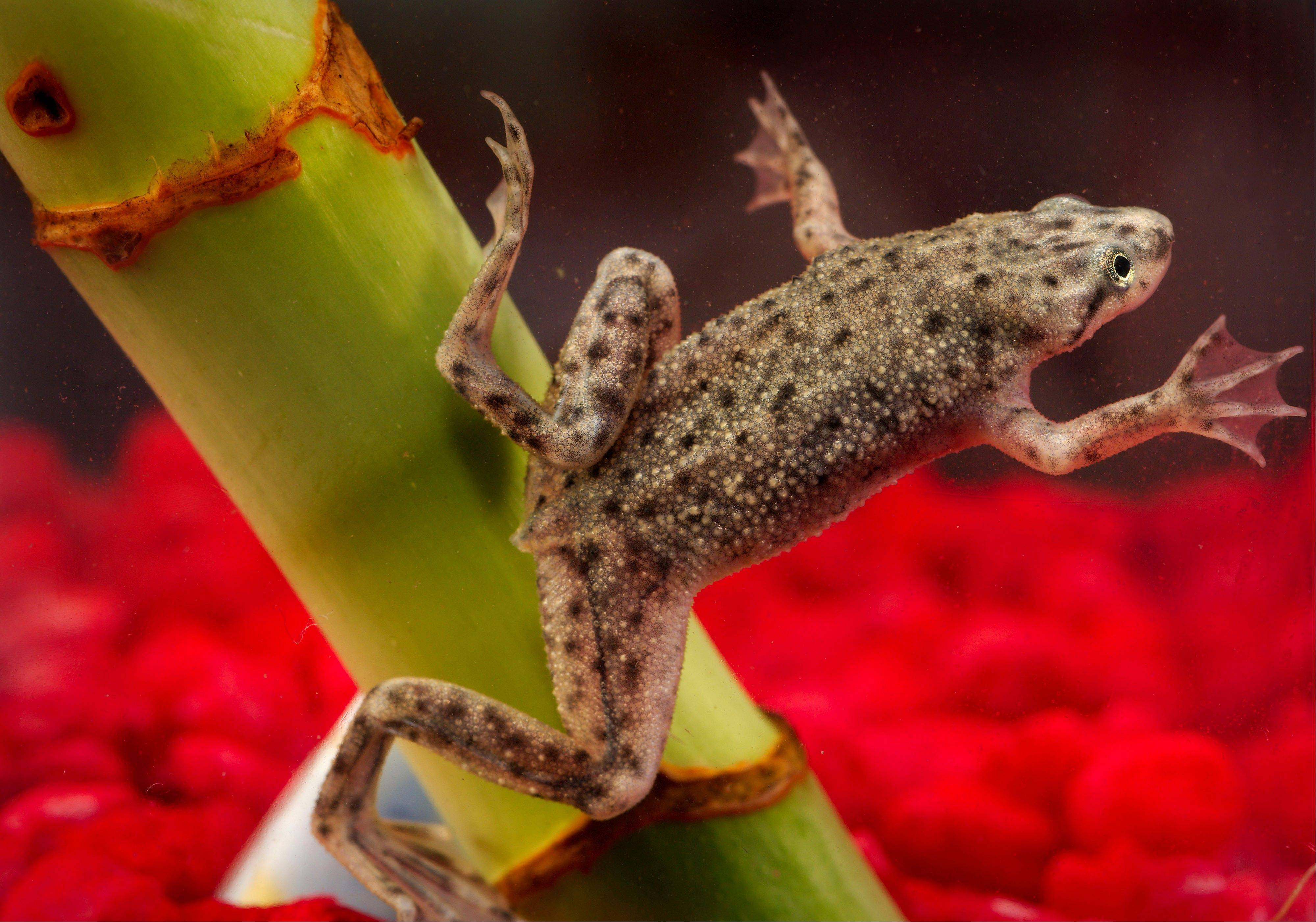 A government report released by the journal Pediatrics says that African dwarf frogs can carry salmonella.