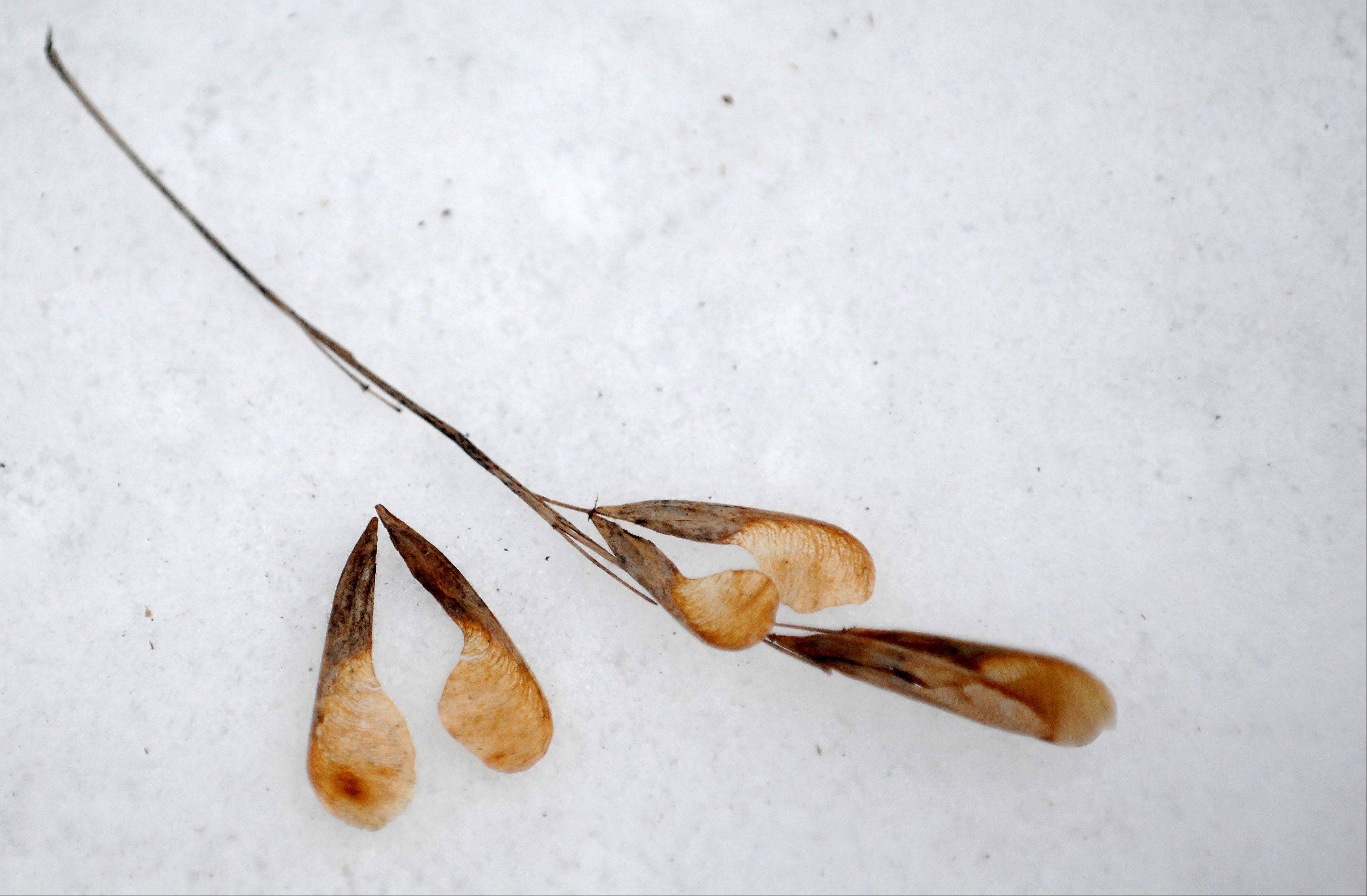 The seeds from a boxelder at Tekakwitha Woods in St. Charles.