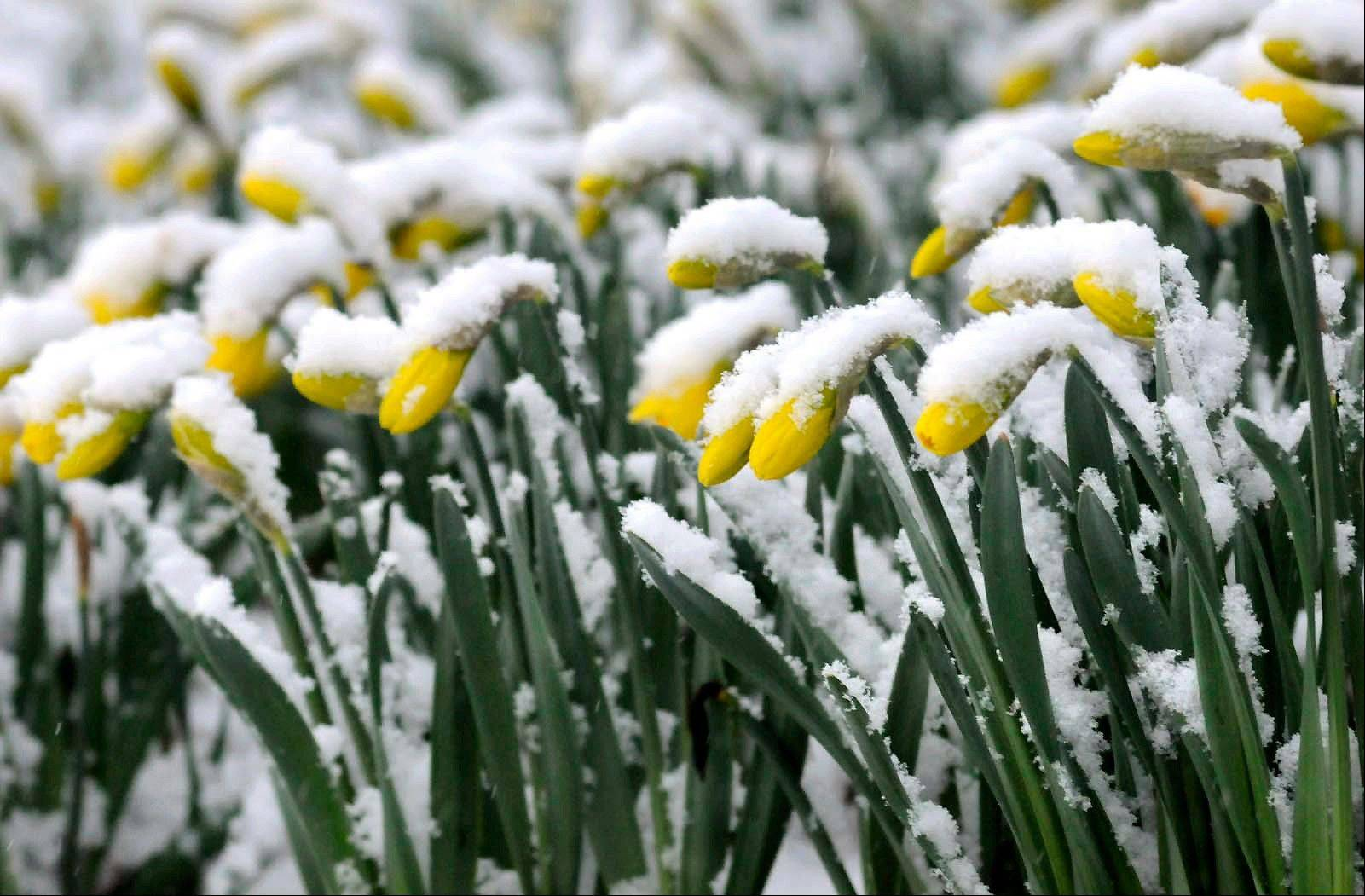 Daffodils are covered with wet spring snow in Lancaster, Pa., Monday morning, March 25, 2013 as a storm stretching from the Midwest to the East Coast is burying thoughts of springtime weather under a blanket of heavy wet snow and slush.