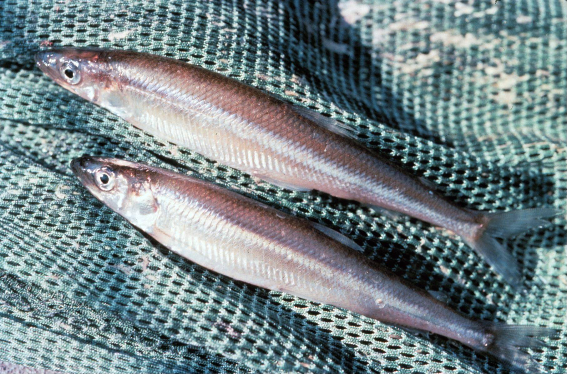 These smelt don't have as many brethren as they once did. The number of smelt in Lake Michigan has plummeted since the 1980s, when a carnival atmosphere surrounded the fishermen who came to the shore ever spring to catch the fish in nets.