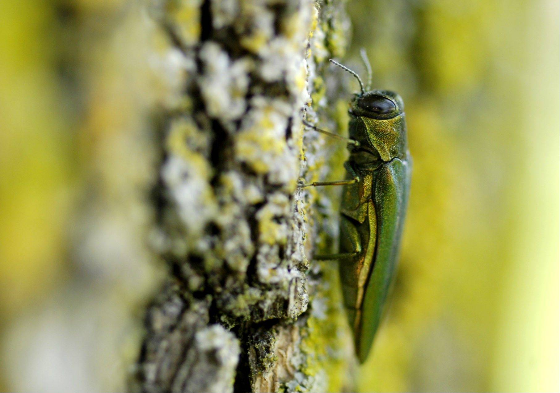 An emerald ash borer sits on a suburban ash tree. Mundelein is the latest suburb to develop a plan to remove infected trees.