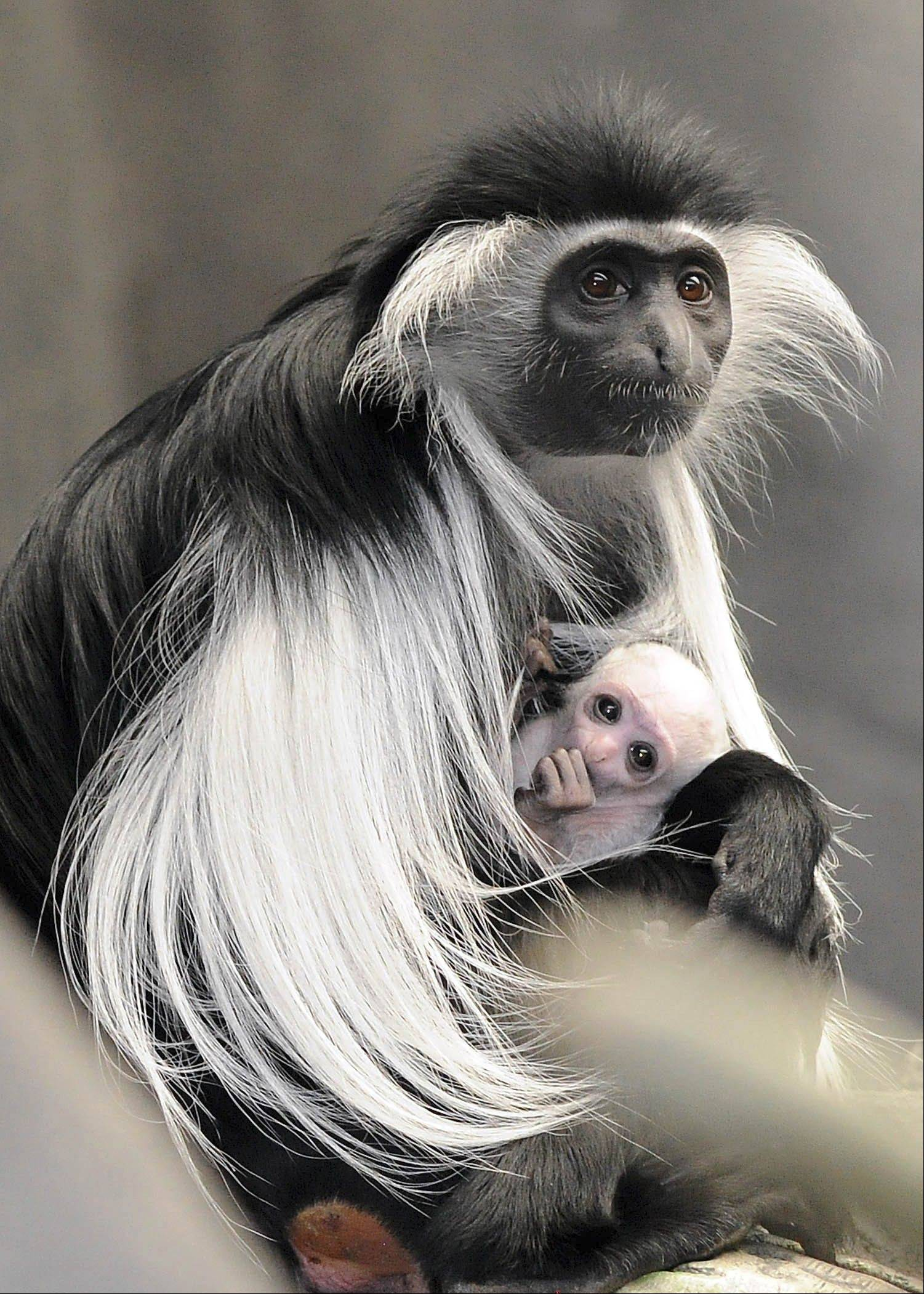A newborn Angolan colobus monkey is held by its mother in the Tropic World exhibit at Brookfield Zoo. The baby, born on March 9, is the first birth of this species of colobus at Brookfield Zoo.