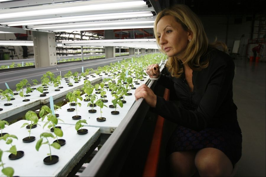 Jolanta Hardej, CEO of FarmedHere LLC, examines a young basil crop at the indoor vertical farm in Bedford Park.