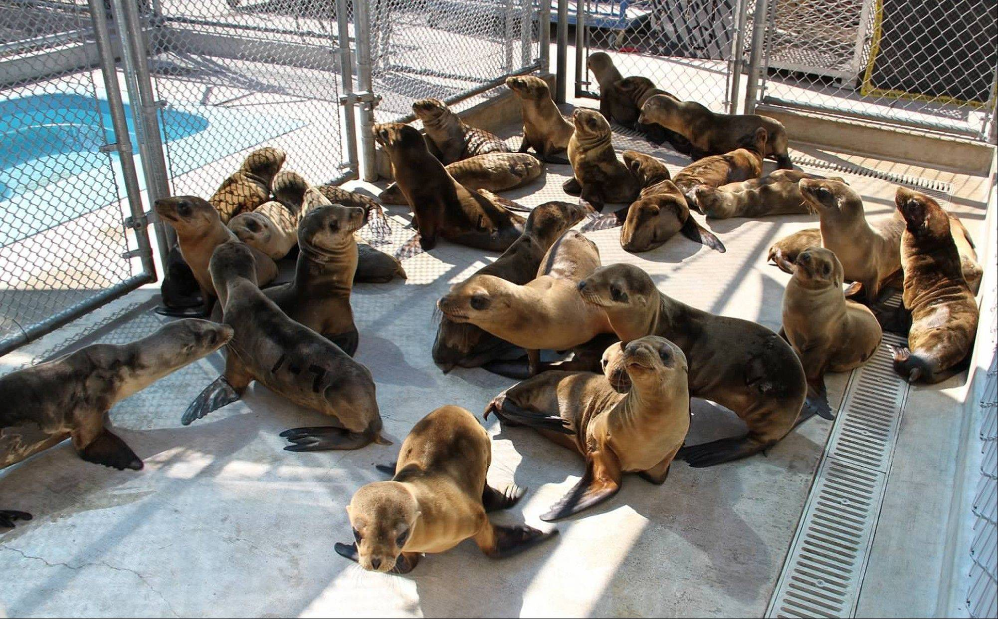 Rescued sea lion pups in Laguna Beach, Calif. Scientists say nearly half of all the sea lion pups born in island rookeries off Southern California this season have died.