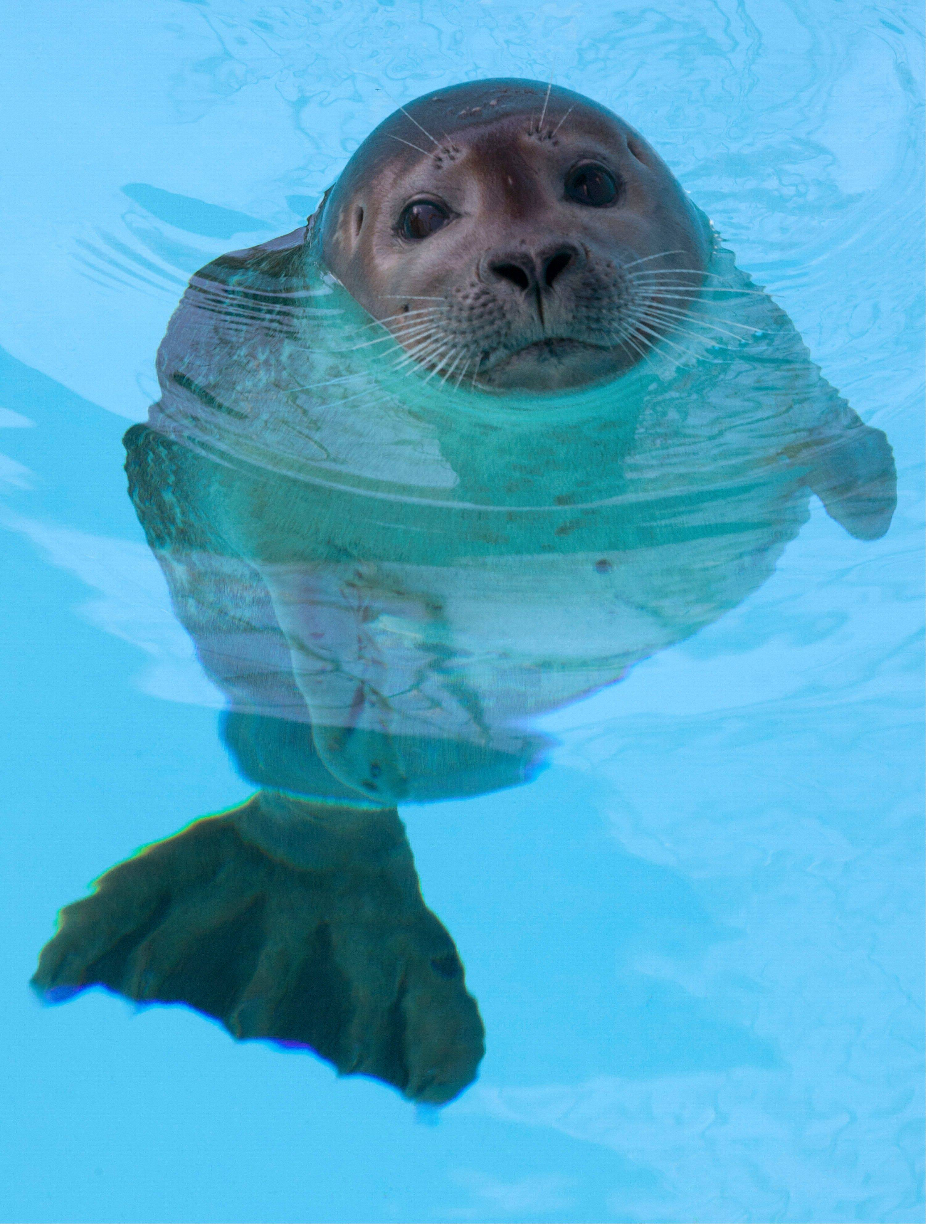 An 8-month old female harbor seal, known as Pup 49, swims Wednesday in a pool at Mystic Aquarium in Mystic, Conn.