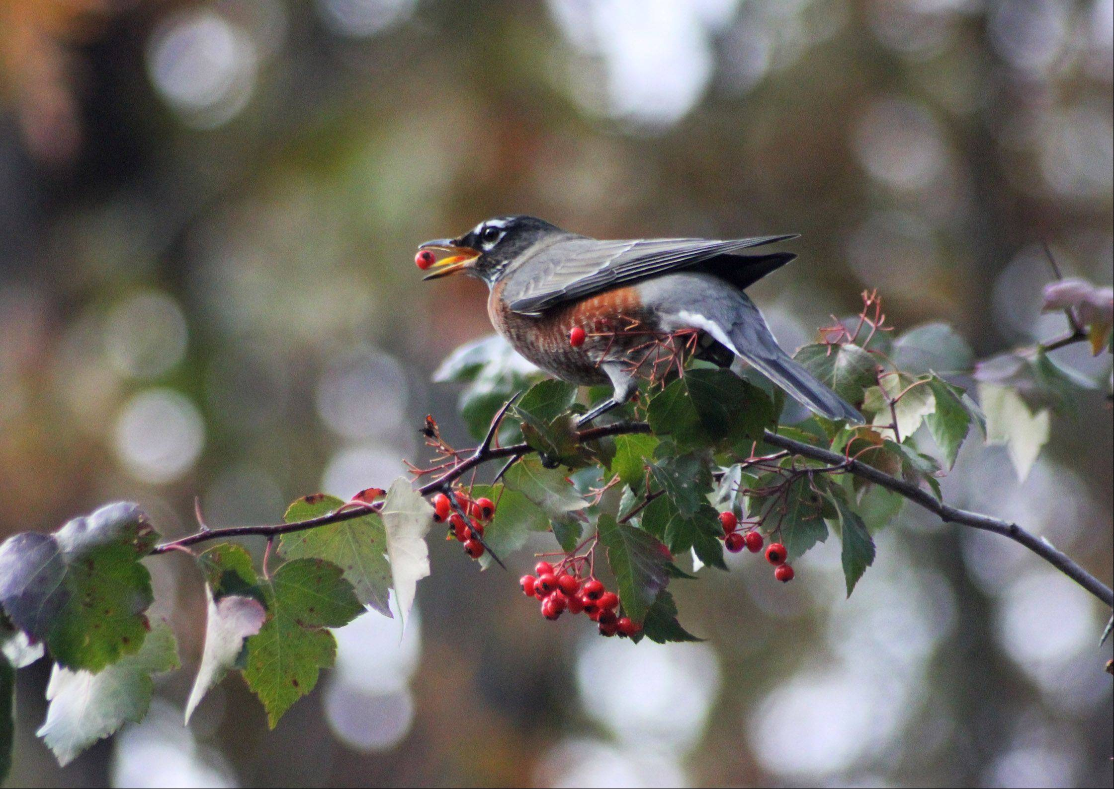 A robin collects berries from a hawthorn tree in the fall of 2012 in Fontana, Wisconsin.