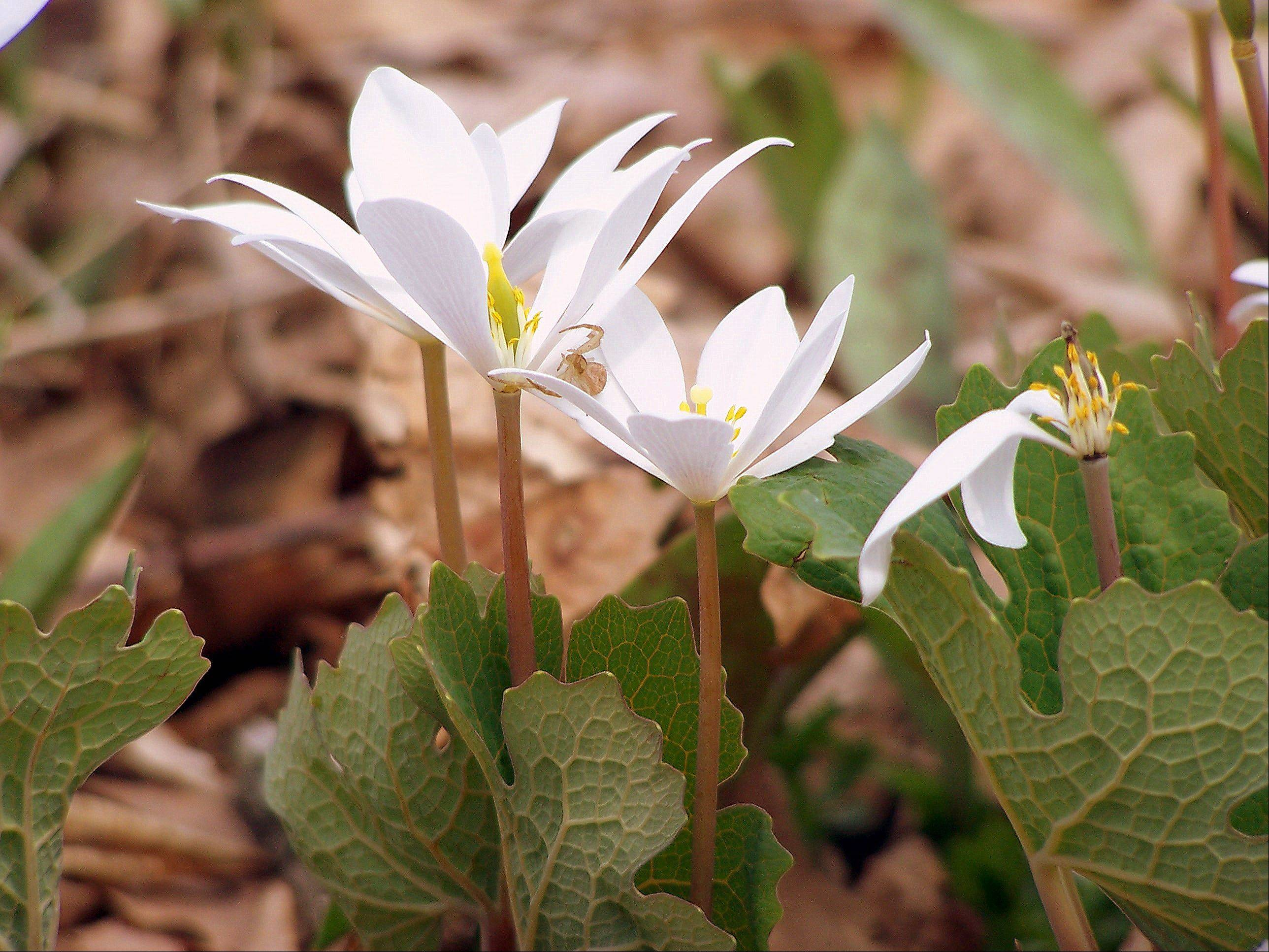 It's spring and flowers will be blooming soon. This is a picture of a plant called bloodroot that I took last spring at MCCD's Living Land Farm. Bloodroot was used by Native Americans for both its curative properties and as a natural dye.