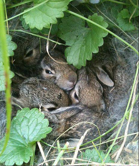 I took this picture over this past summer in my backyard. My dog kept hanging out in the same spot sniffing around so I decided to take a stroll over and found this pack of baby bunnies. I put a chair over them to ensure their safety.