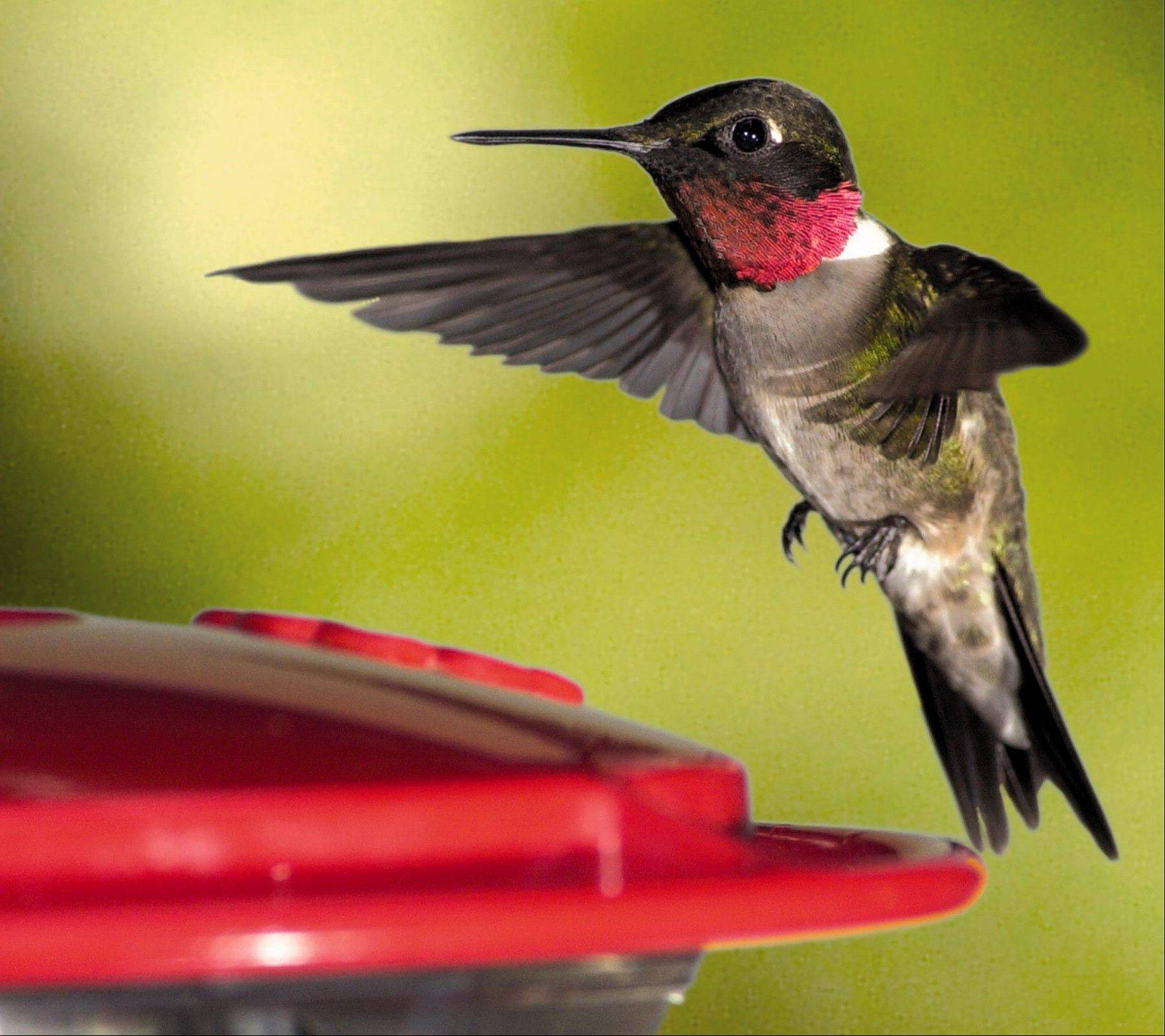 A ruby-throated hummingbird is the smallest bird in the world weighing a tenth of an ounce, has a brain the size of a BB, wobbly legs and enemies like the praying mantis and bull frog.