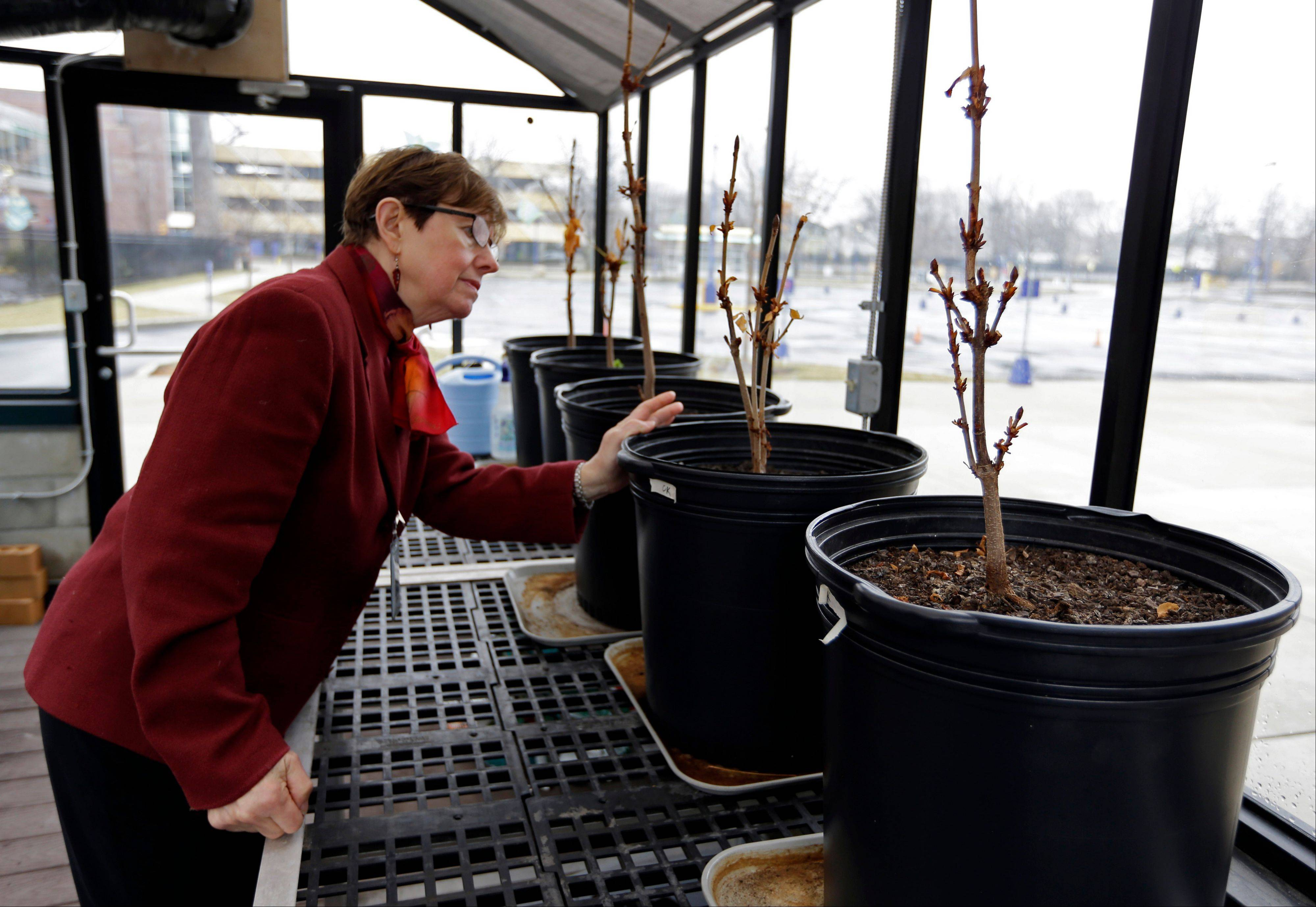 Mary Fortney, learning resource development manager at the Indianapolis Children's Museum, looks over chestnut saplings from the tree outside Anne Frank's hiding spot in Amsterdam being cared for in the museum's greenhouse in Indianapolis. Eleven saplings grown from seeds taken from the massive chestnut tree that stood outside the home in which Frank and her family hid are being distributed to museums, schools, parks and Holocaust remembrance centers through a project led by The Anne Frank Center USA.