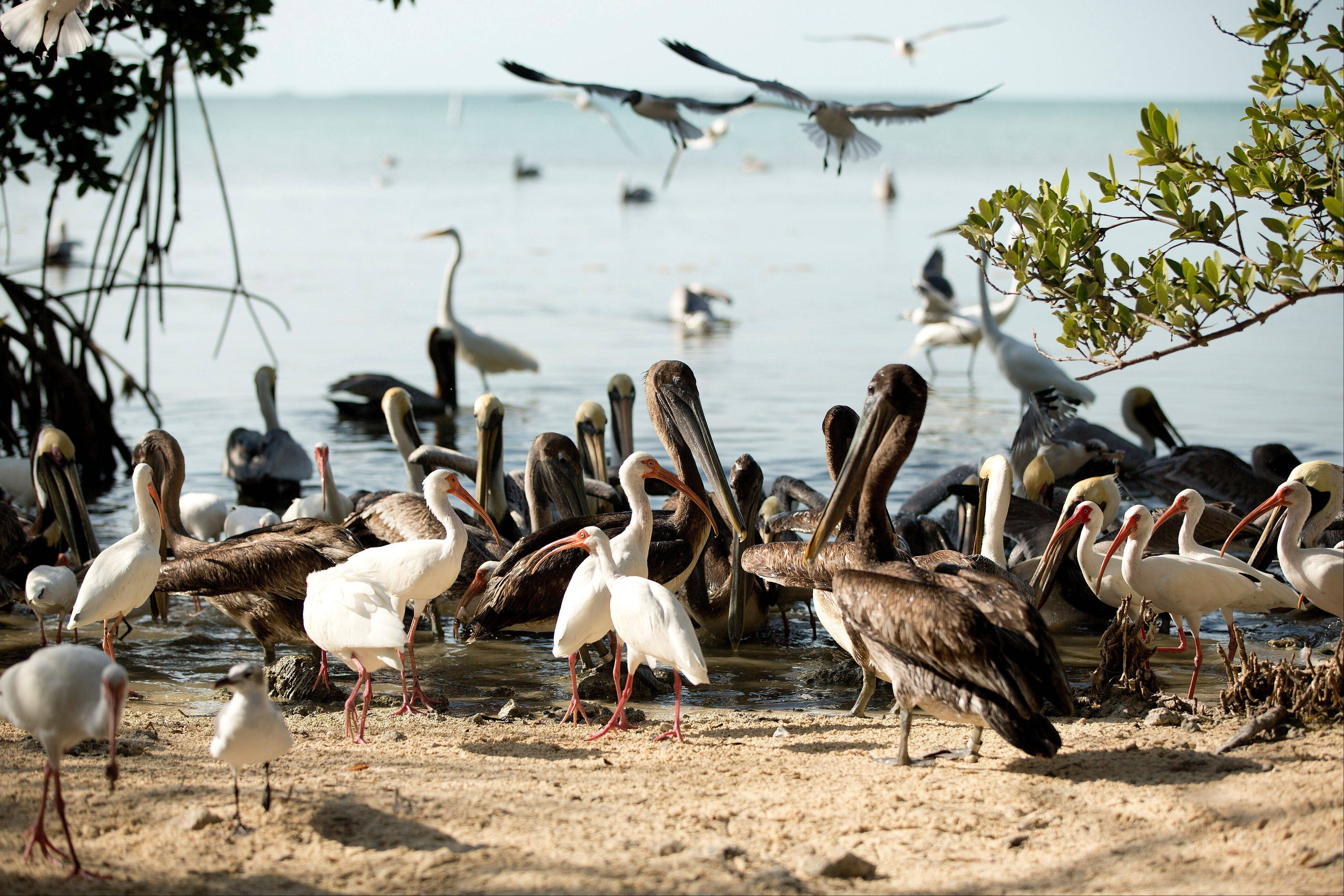 After touring the birds in cages at the Florida Keys Wild Bird Center near Key Largo, Fla., visitors can see birds roaming free on the beach.