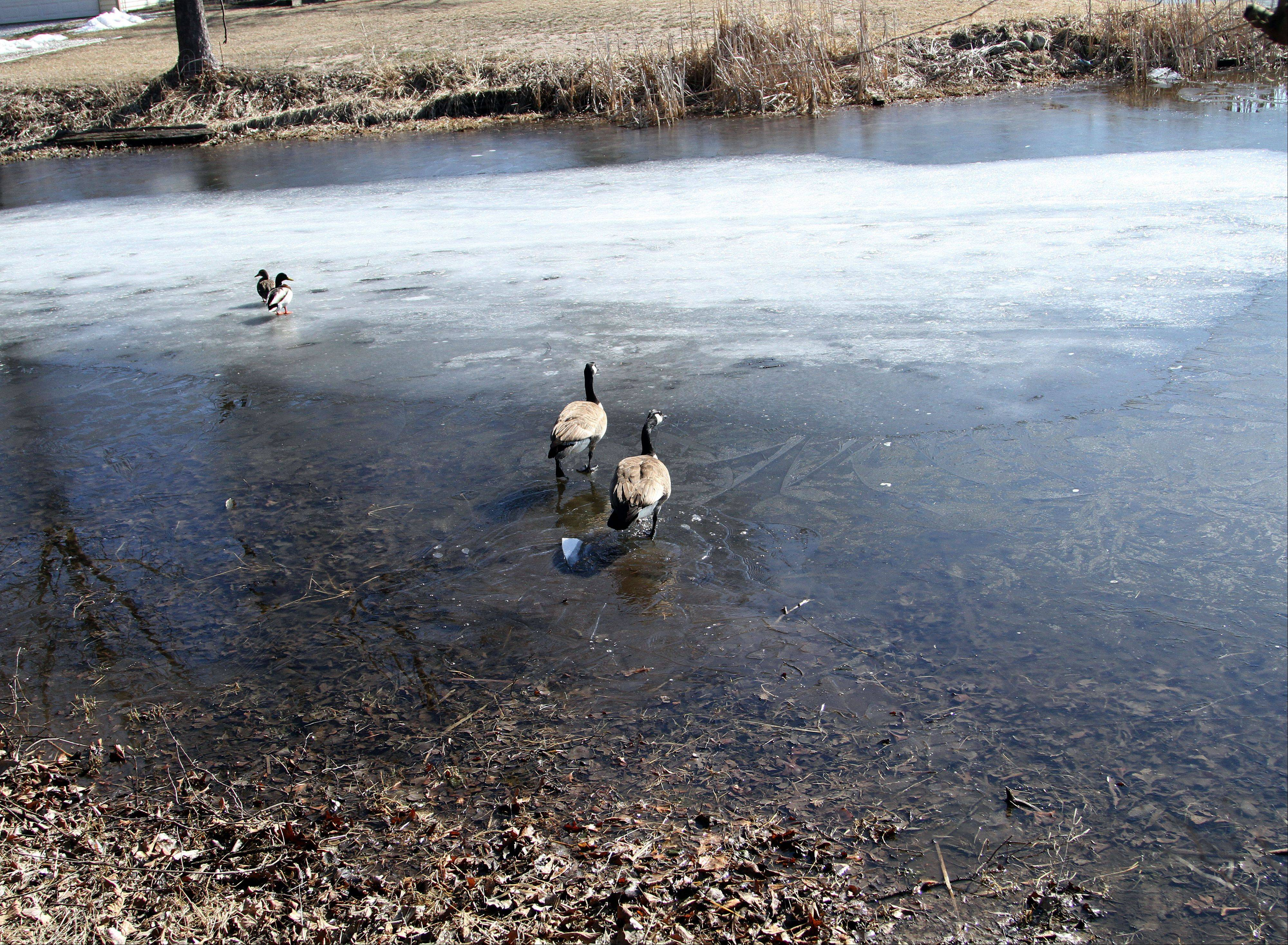 Ducks and geese traverse the mouth of the channel that feeds into Bangs Lake in Wauconda, but boats couldn't do the same during last year's drought conditions. Residents have formed an alliance which hopes to get the channel dredged.
