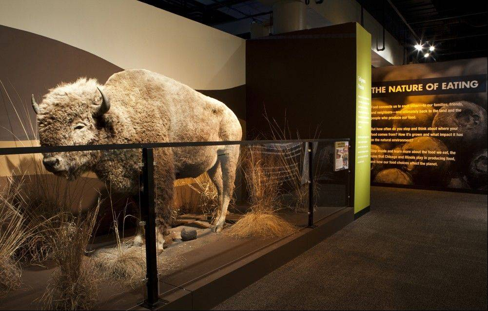 "A bison, which once freely roamed America's prairies, is part of the ""Food: The Nature of Eating"" exhibit at the Peggy Notebaert Nature Museum."