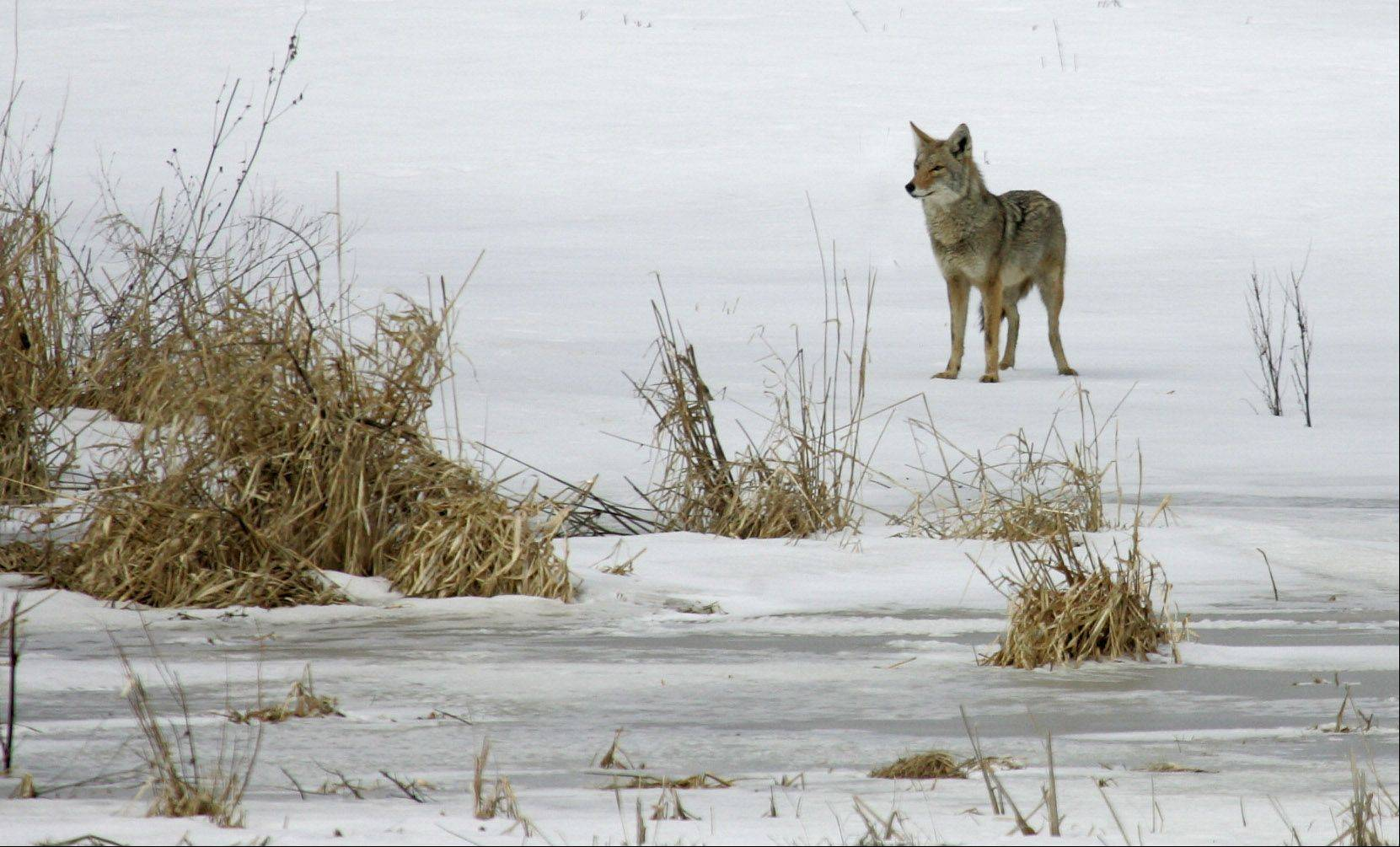A coyote walks across a snow covered field in unincorporated Mundelein on Tuesday. According to coyote expert Stan Gehrt, populations of urban coyotes are much higher than guessed and help control geese populations and they also pose little threat to humans.