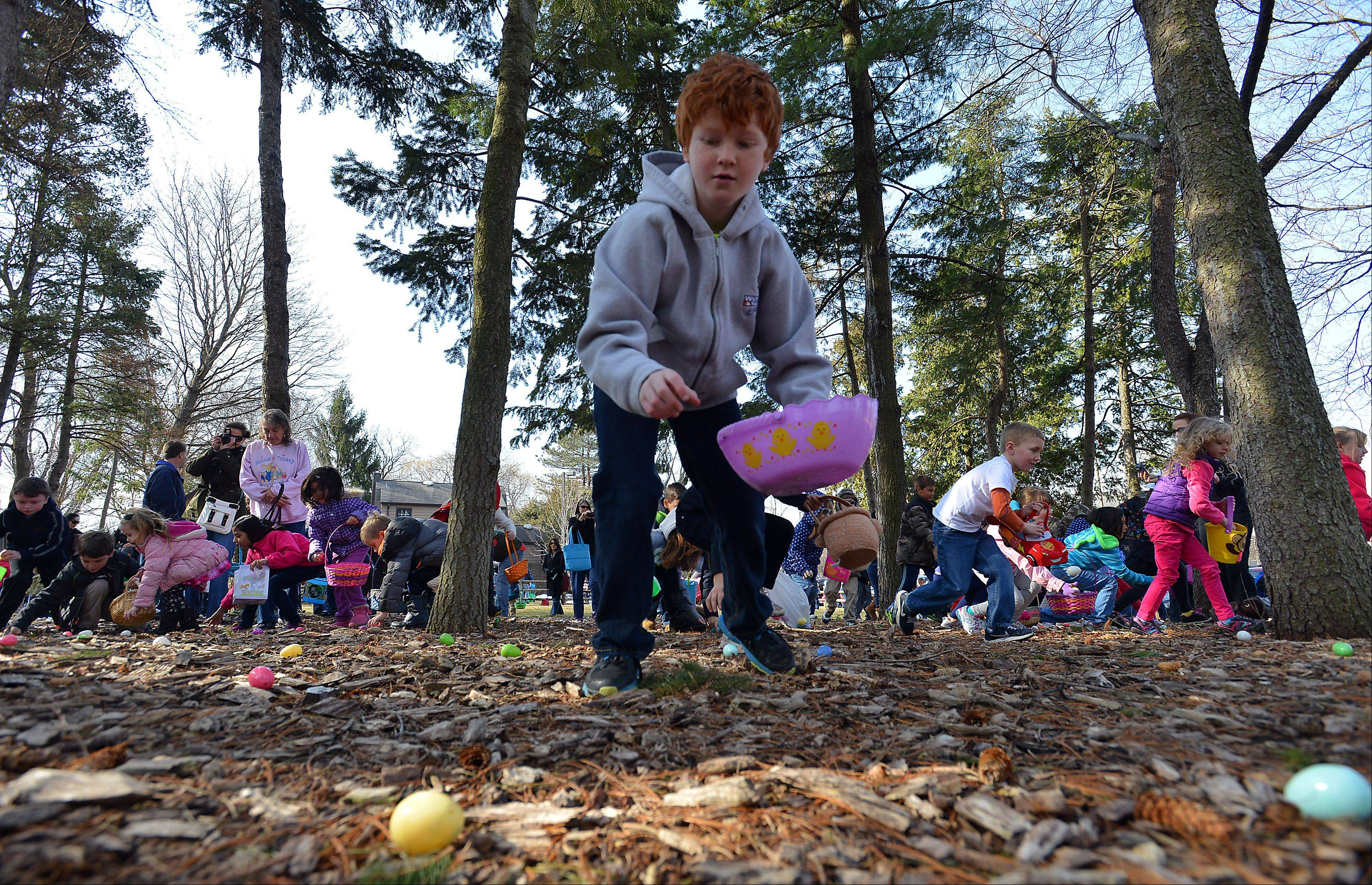 In a mass of humanity that was uncontrolled chaos Jonathon Kaspar, 9, of Wheeling works away from the pack to find an Easter egg in the big hunt held at the Gary Morava Recreation Center in Prospect Heights on Saturday.