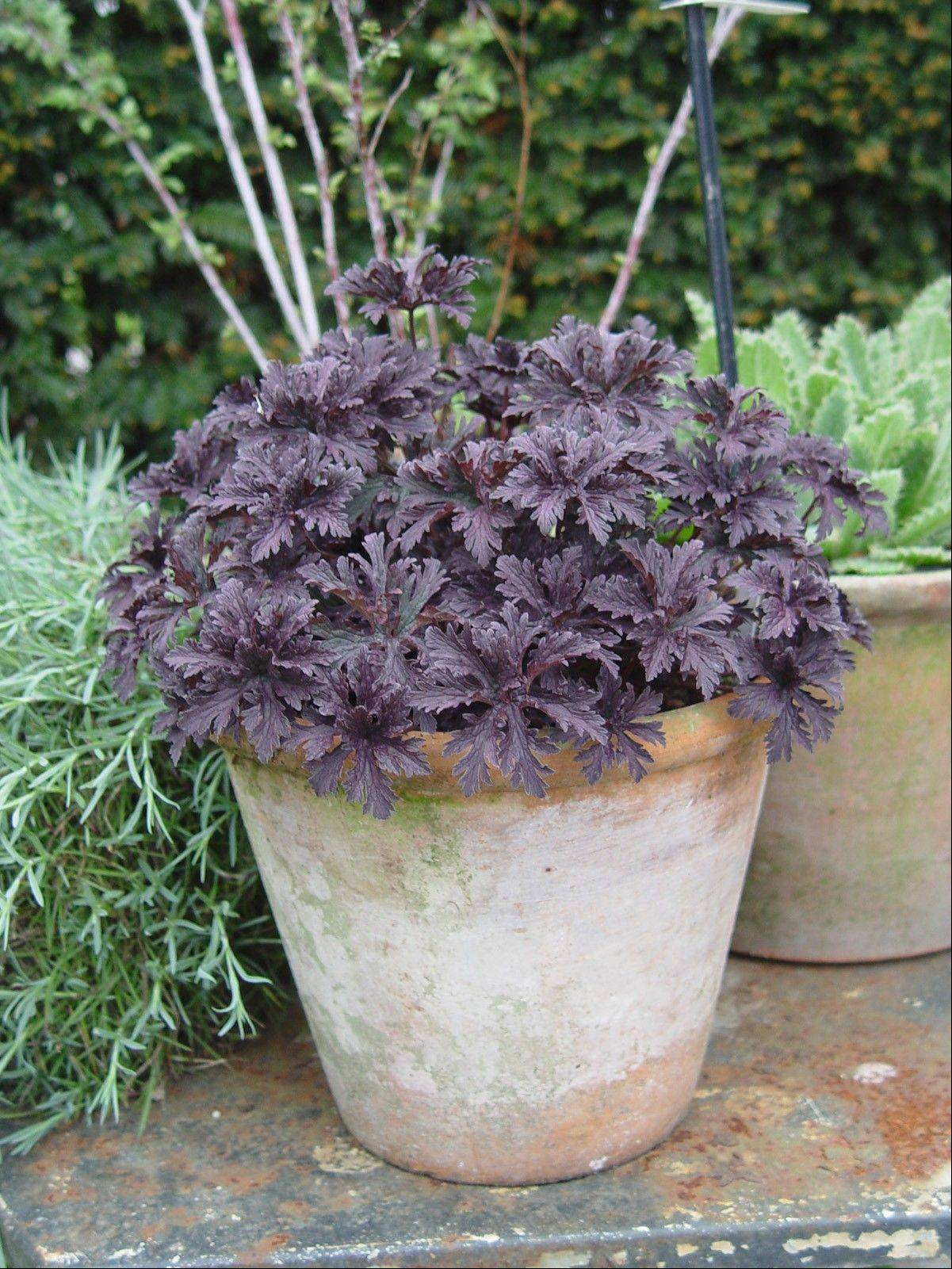 The plum-colored foliage of this heuchera demonstrates great color even when not in bloom.
