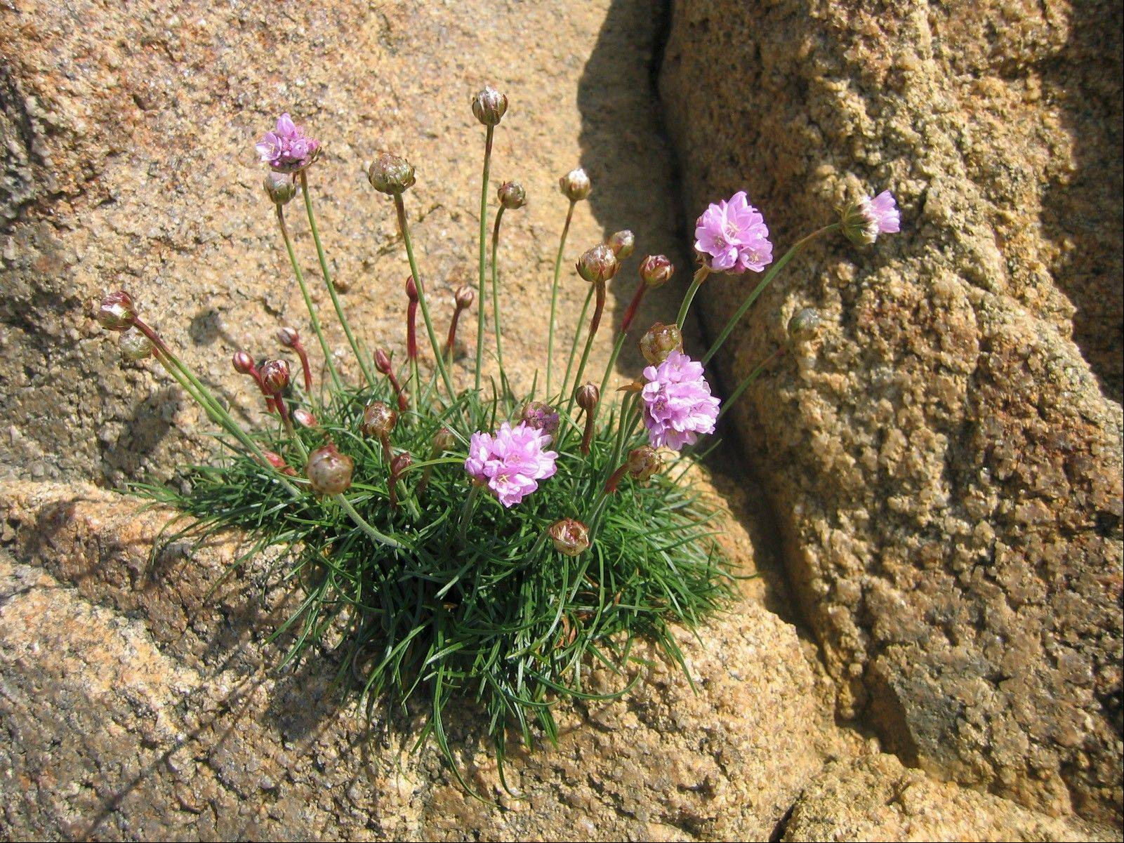 This species of thrift is in its natural habitat on the cliffs of northern France.