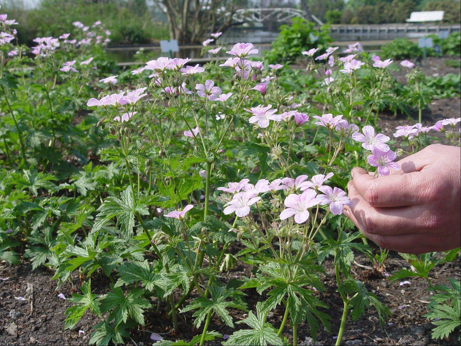 The hardy geranium looks so delicate, but it's an incredibly tough little plant.