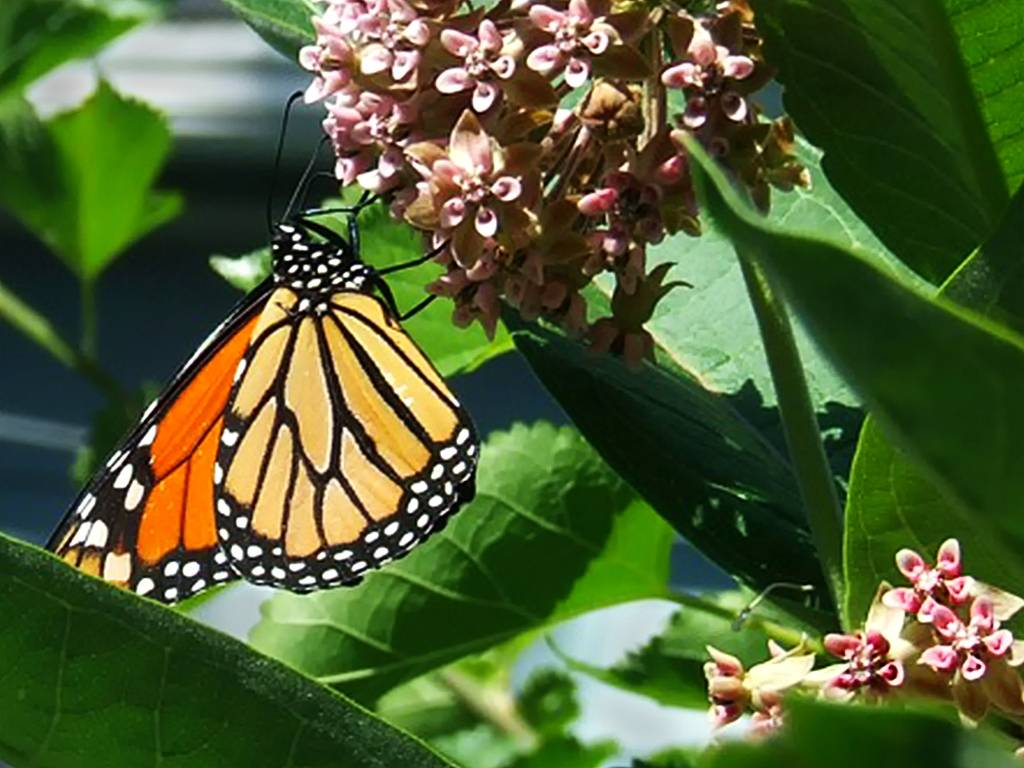 Adult Monarch butterfly feeding on Milkweed, its primary food source