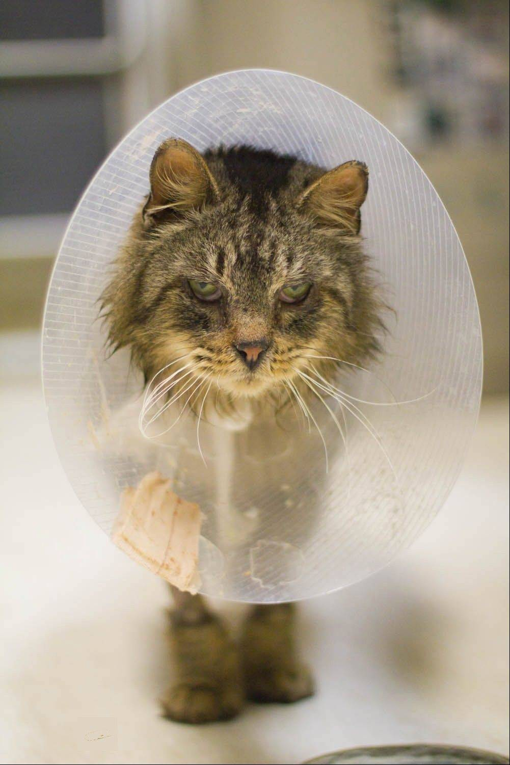 When he was brought in to Save-A-Pet animal shelter, Gentry had suffered severe injuries to his pelvis and rear legs, as well as an upper respiratory infection.