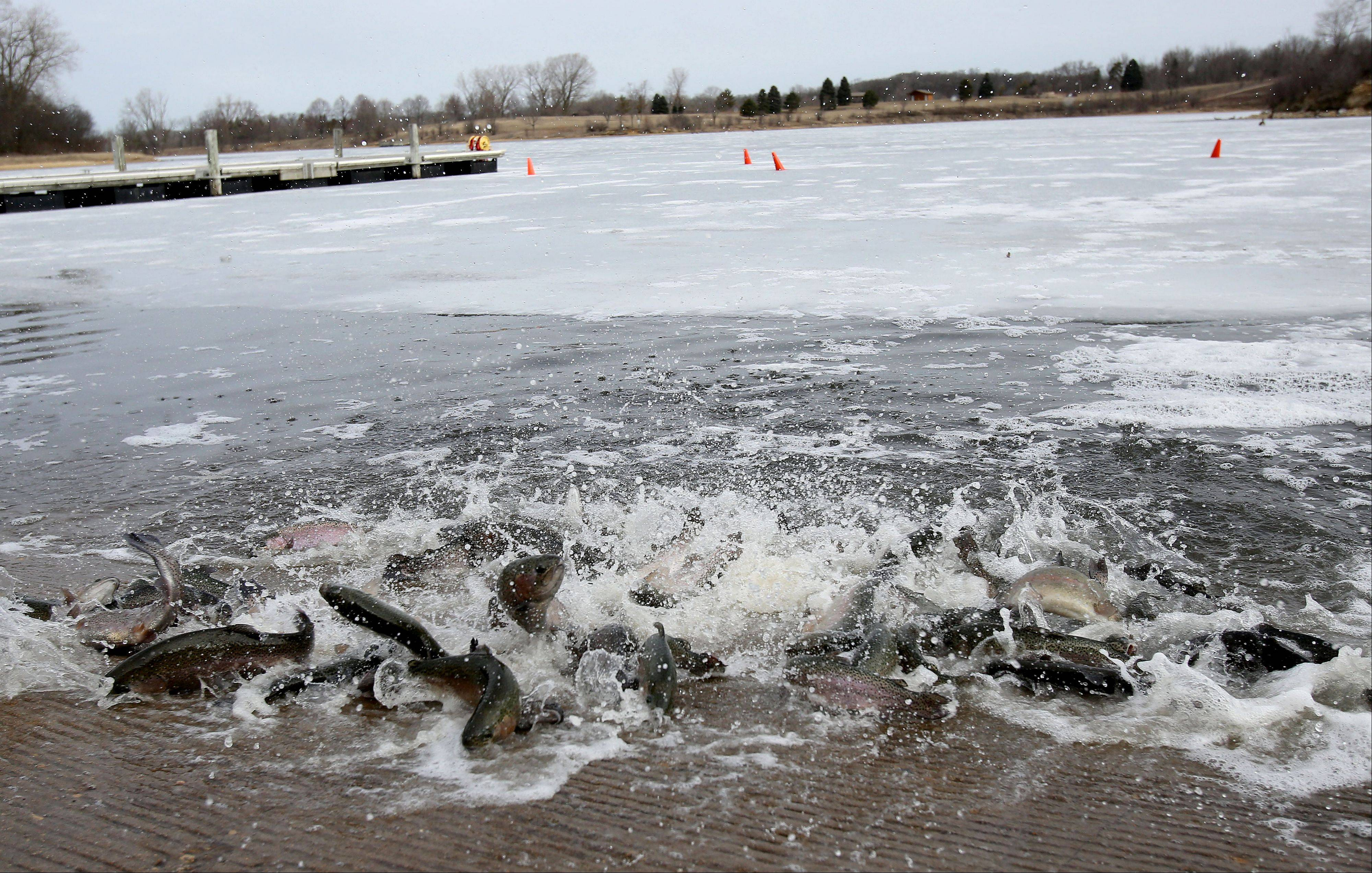 About 2,200 rainbow trout recently were released into Silver Lake at the Blackwell Forest Preserve near Warrenville to prepare for the start of the spring trout fishing season, which begins at 6 a.m. Saturday.
