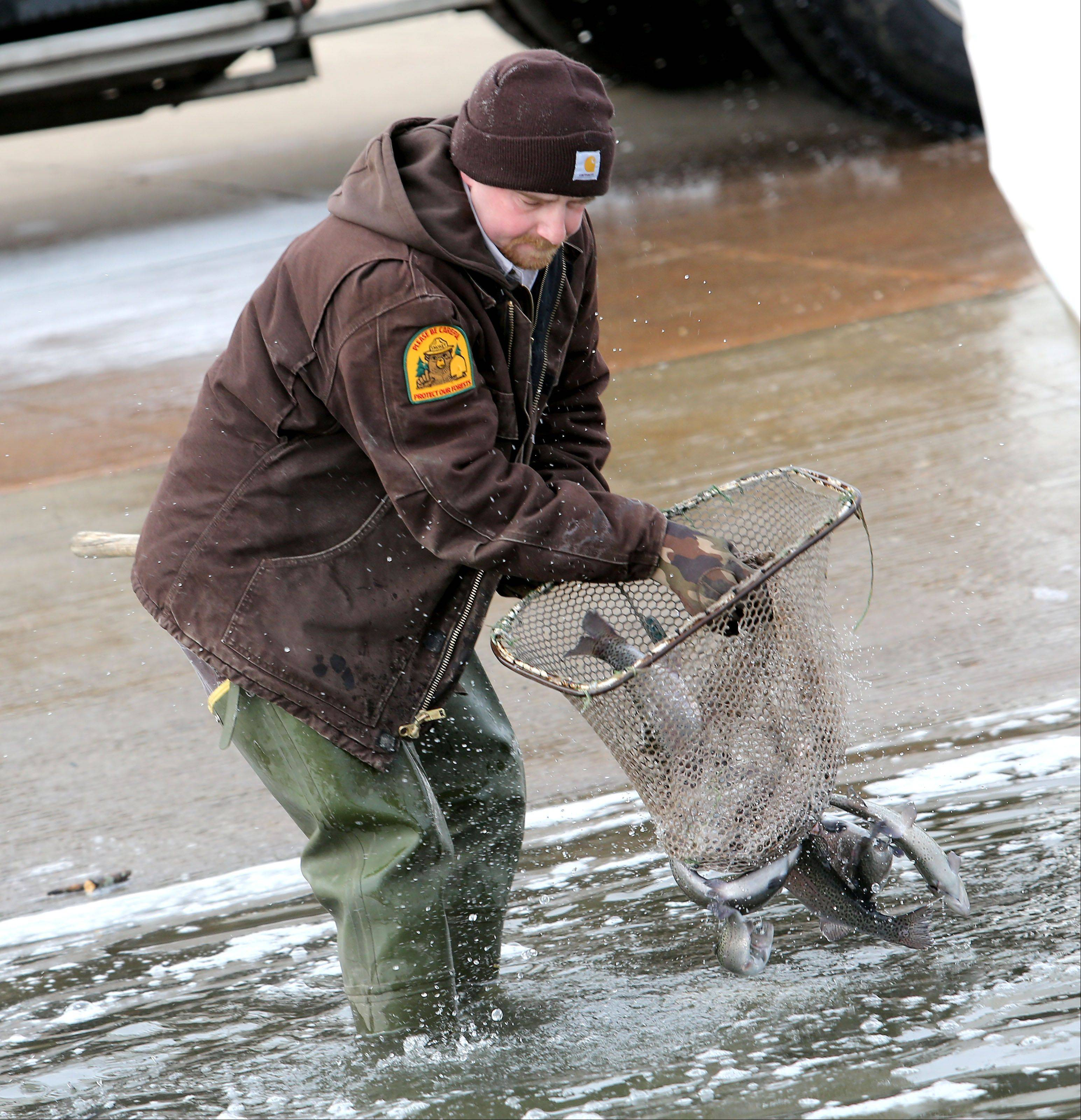 Scott Meister, the DuPage County Forest Preserve District's natural resource management coordinator, uses a net to put a few rainbow trout into Silver Lake at the Blackwell Forest Preserve near Warrenville. The trout fishing season opens at 6 a.m. Saturday.