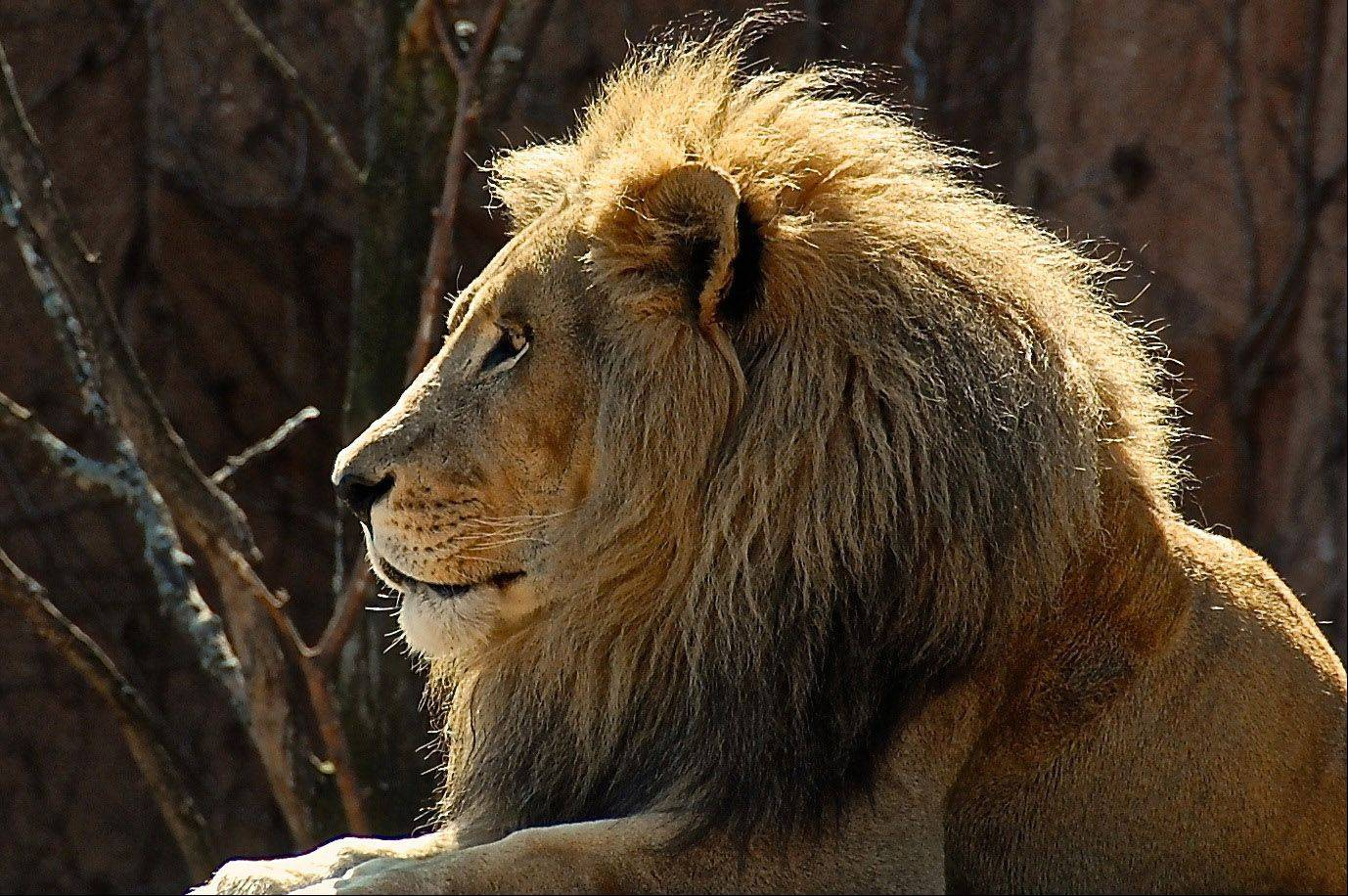 The King of Beasts enjoys lying in the sun at Brookfield Zoo in 2009.