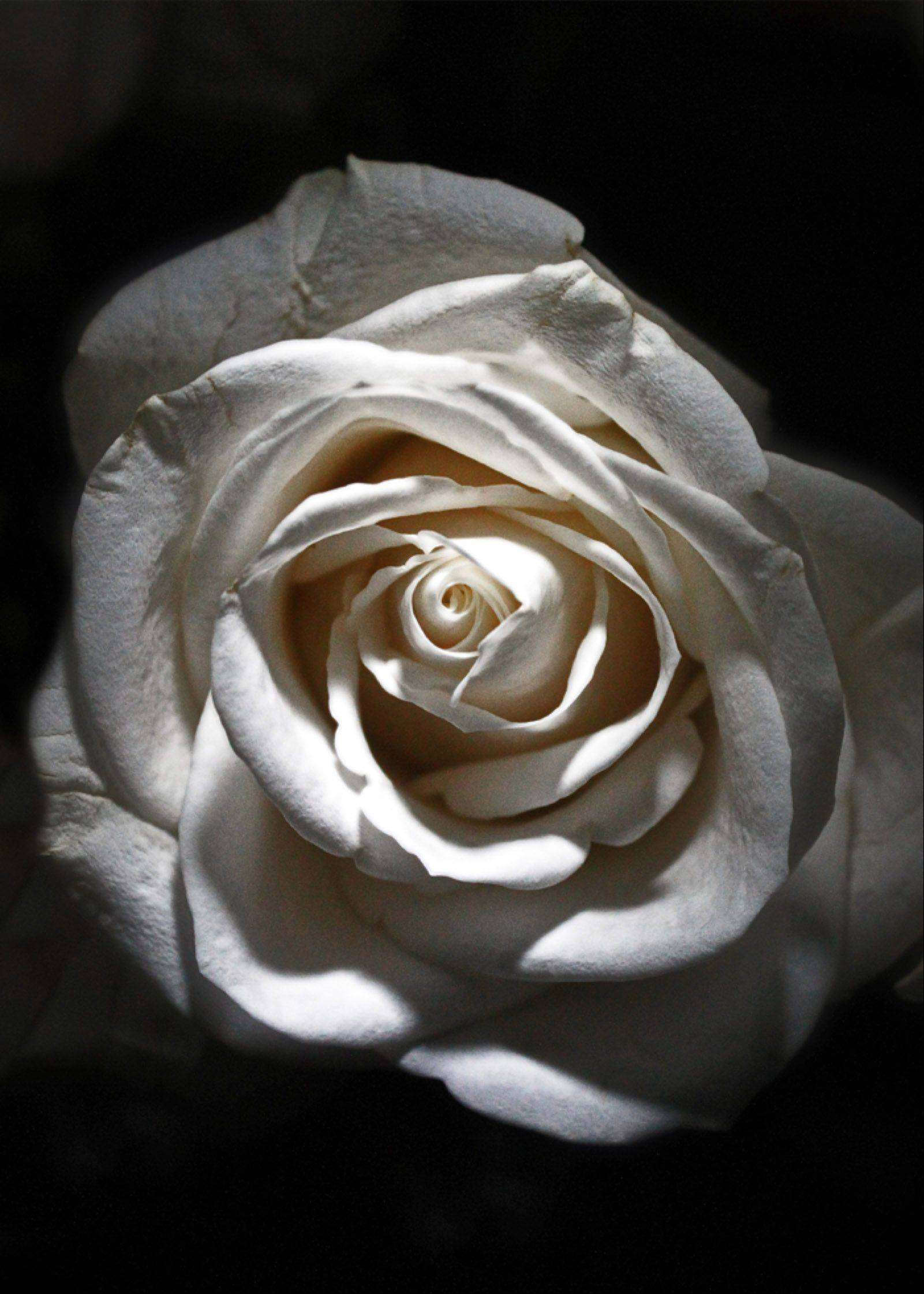 A white rose with accent light shining from above.