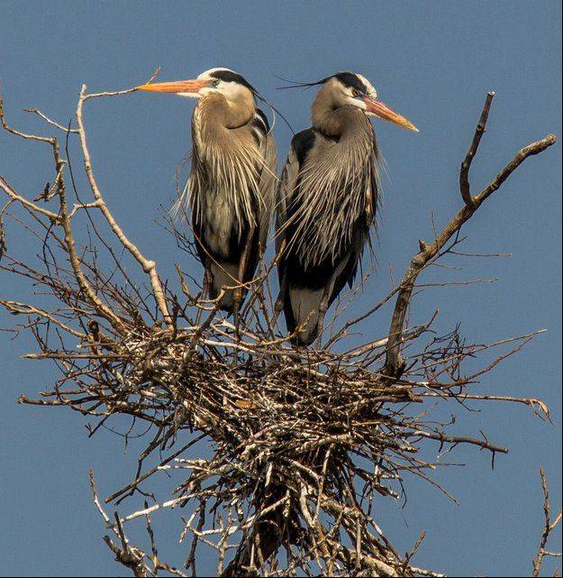 The Great-Blue Herons are building their nests at the Rookery and these two seem to be very proud of the job they have done.