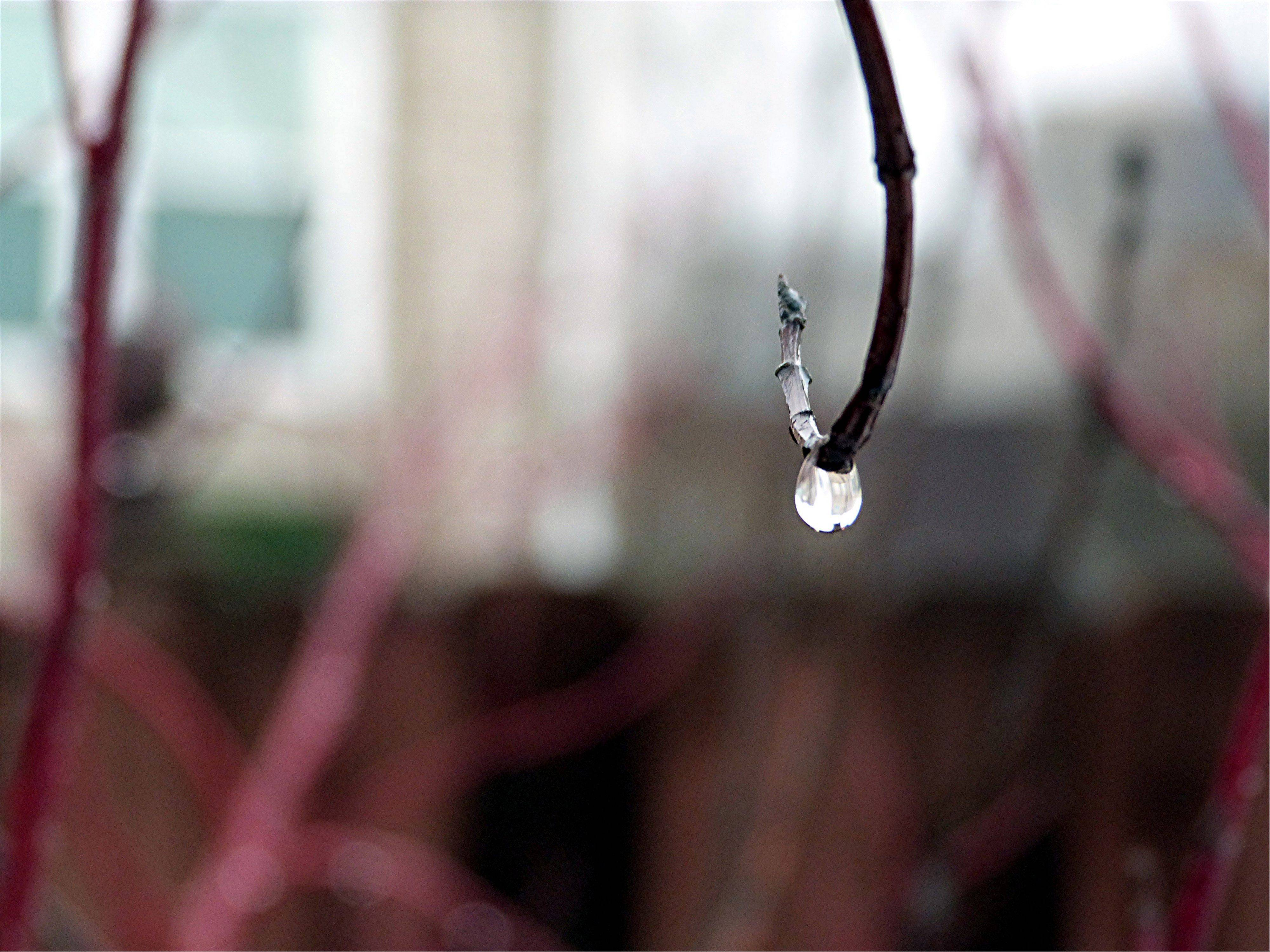 A bead of water hangs suspended from a curved red-tipped dogwood branch one rainy morning.