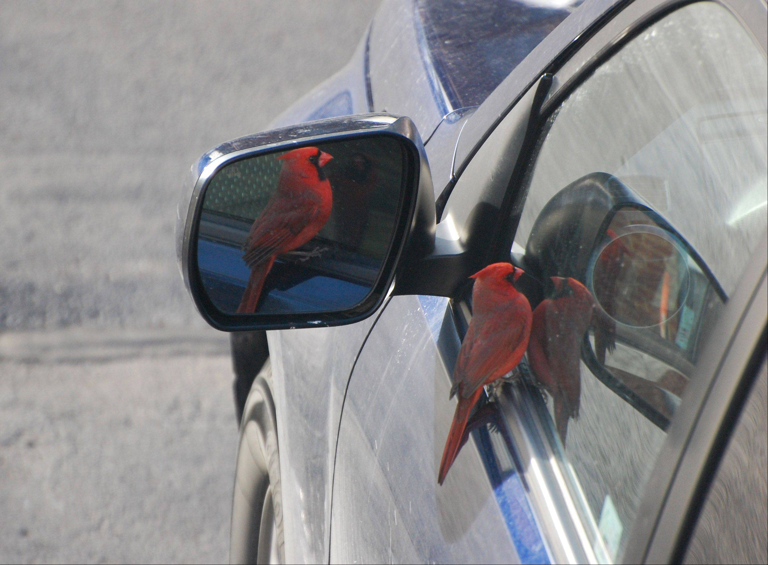 A male cardinal looks at itself in the rearview mirror of a car in Lakemoor on February 3rd.