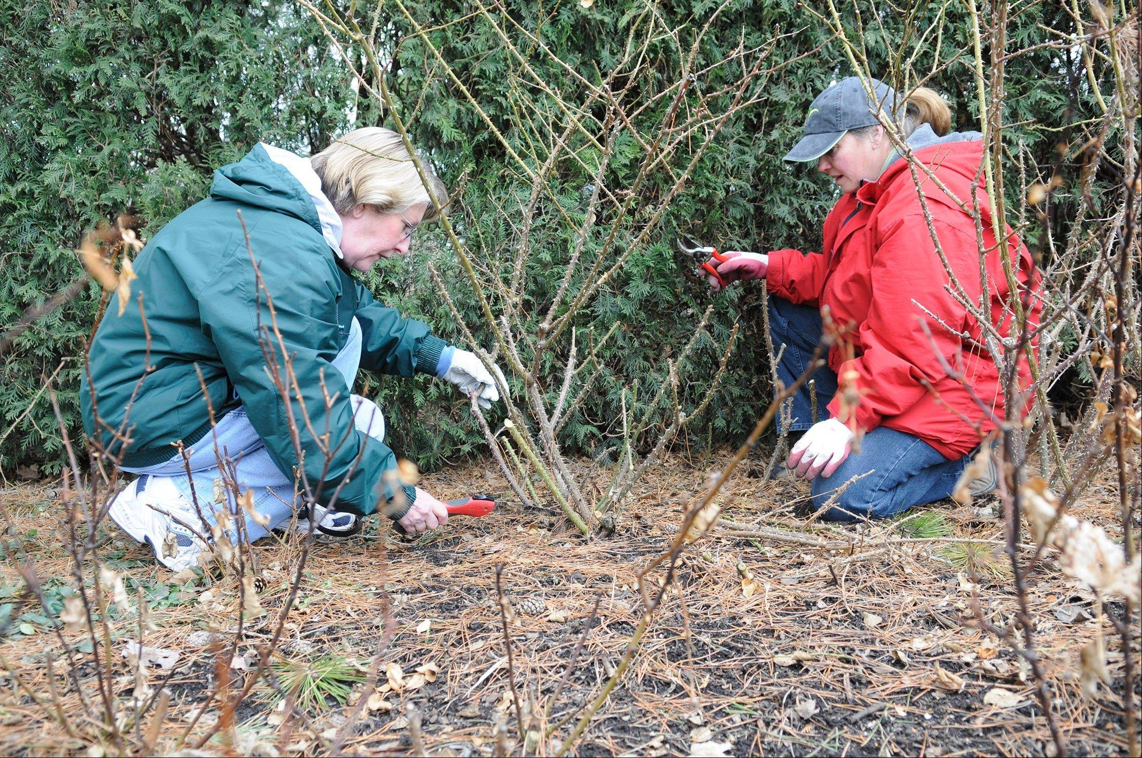Begin uncovering hybrid roses in early April by carefully removing mulch from around the base. A bamboo stake works well as a tool for this task. Leave a small amount of mulch for protection in case of a late hard freeze. Prune these roses back to live growth. In some years that may mean leaving only 1 to 2 inches of stem.