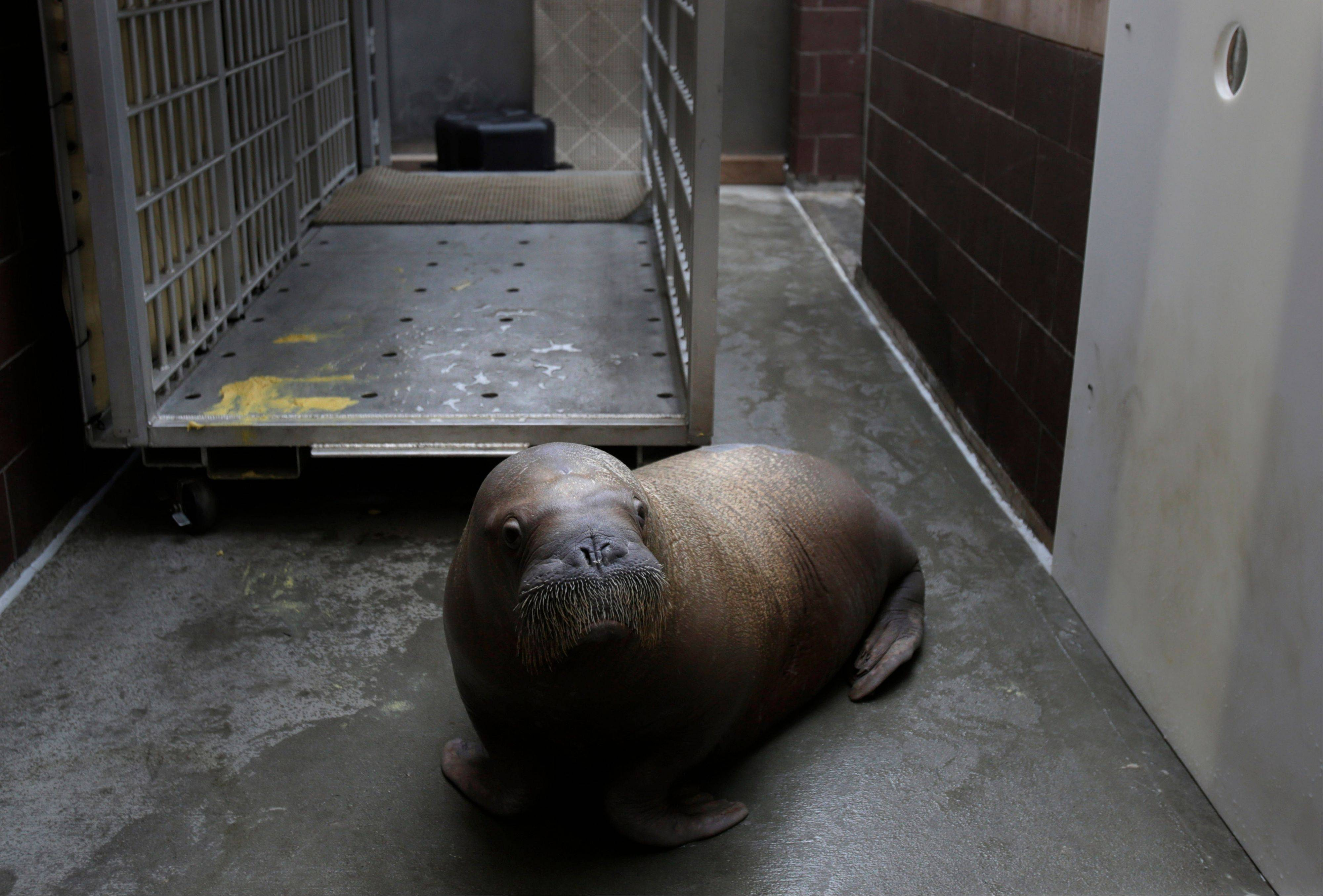 Mitik, a baby walrus survived the flooding of his enclosure during Superstorm Sandy, at the Wildlife Conservation Society's New York Aquarium.