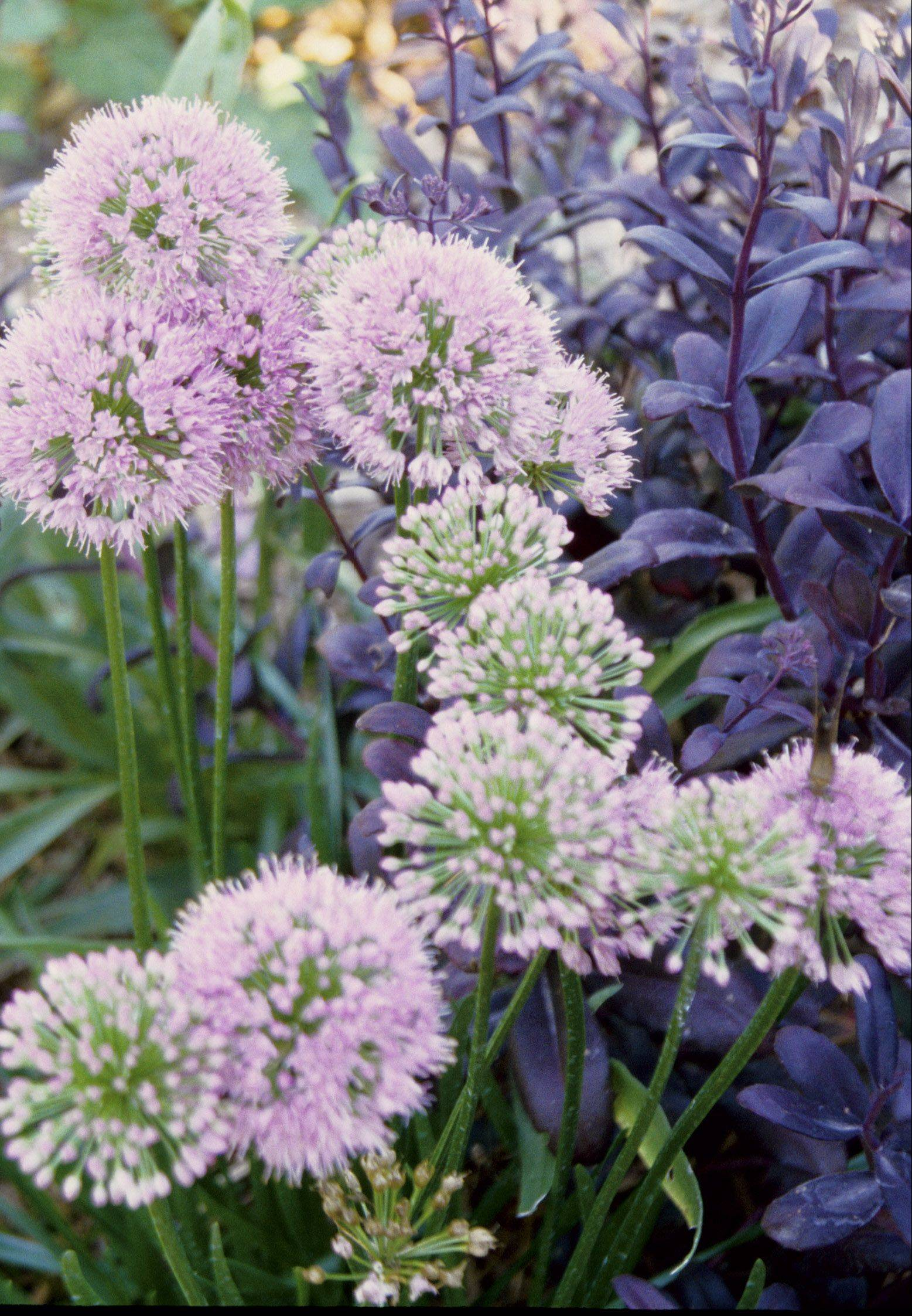 Allium Millenium is an easy-care favorite Riggenbach moved to her new, smaller garden.