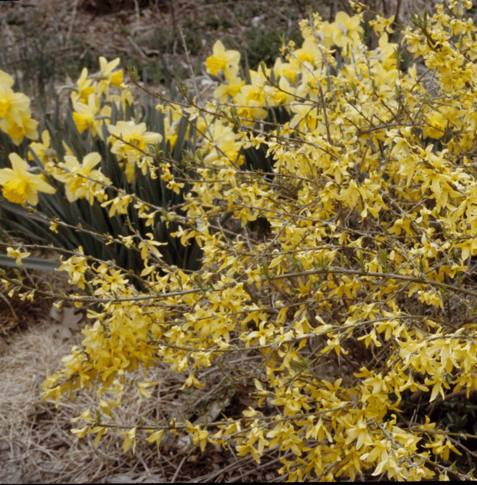 Forsythia Gold Tide produces yellow blossoms in early spring.