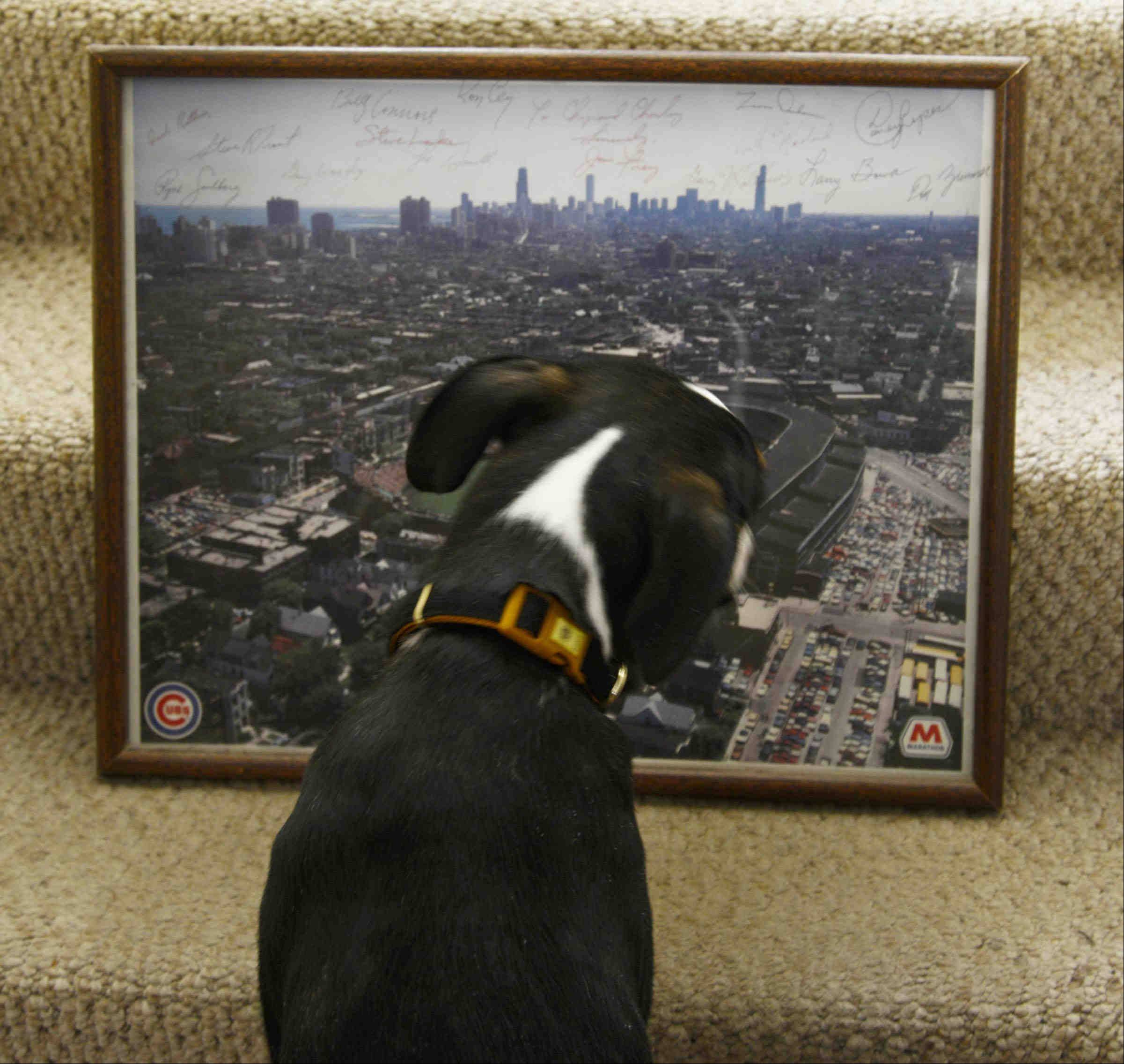 Getting a sense of what it means to be a Cubs fan, Ralph the puppy studies Charley McLenna's framed poster of Wrigley Field. Hanging in the McLenna's home in Lake in the Hills, the poster boasts autographs of players and coaches from the 1984 Cubs.