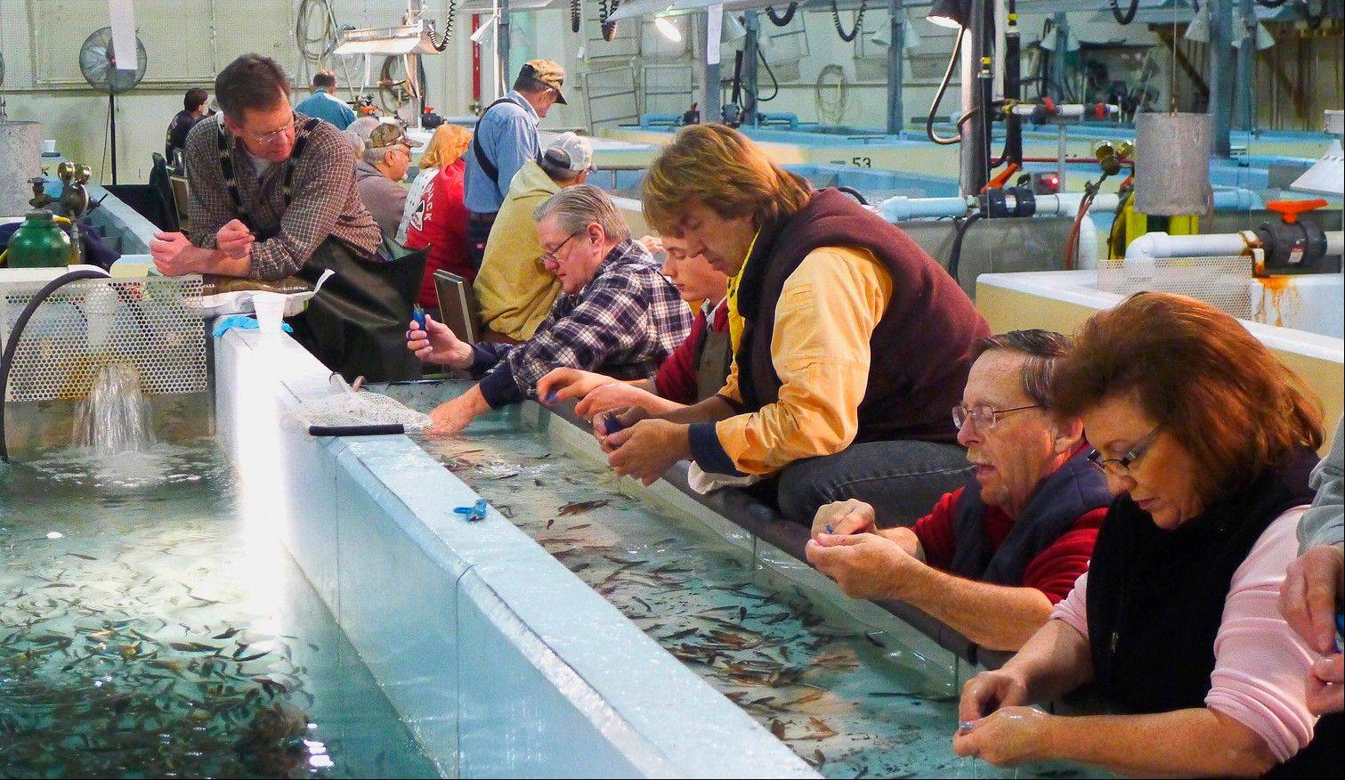 Volunteers from Salmon Unlimited spend a day marking rainbow trout at the Jake Wolf Memorial Fish Hatchery in Topeka, Ill.