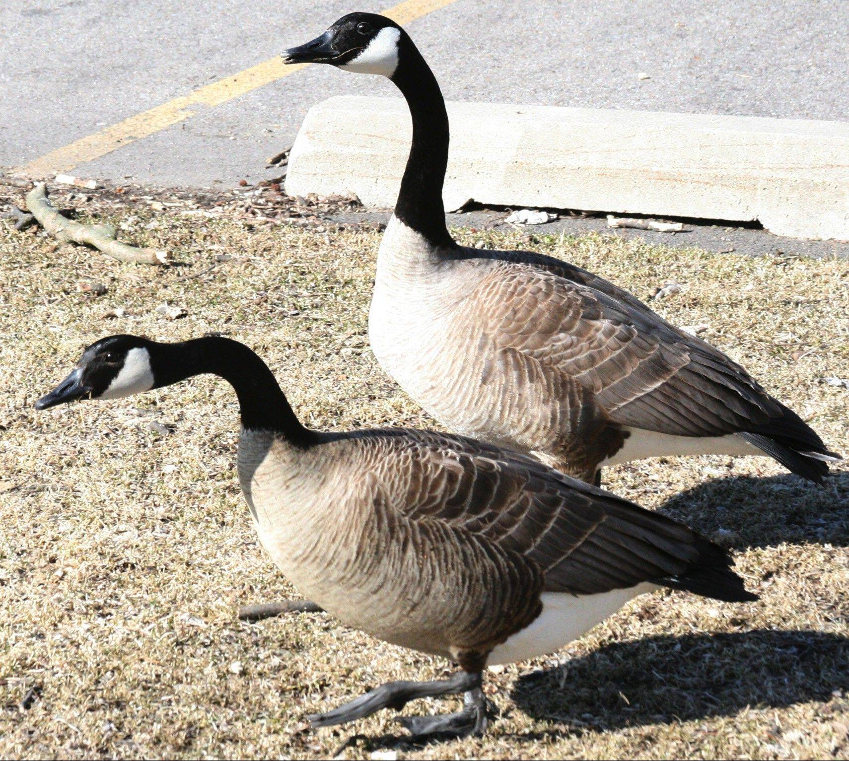 Canada geese are familiar visitors in local parks and public places. The Fox Valley Park District works to manage large populations and reminds all park goers to not feed the geese — it's detrimental to the birds and increases the likelihood of disease.