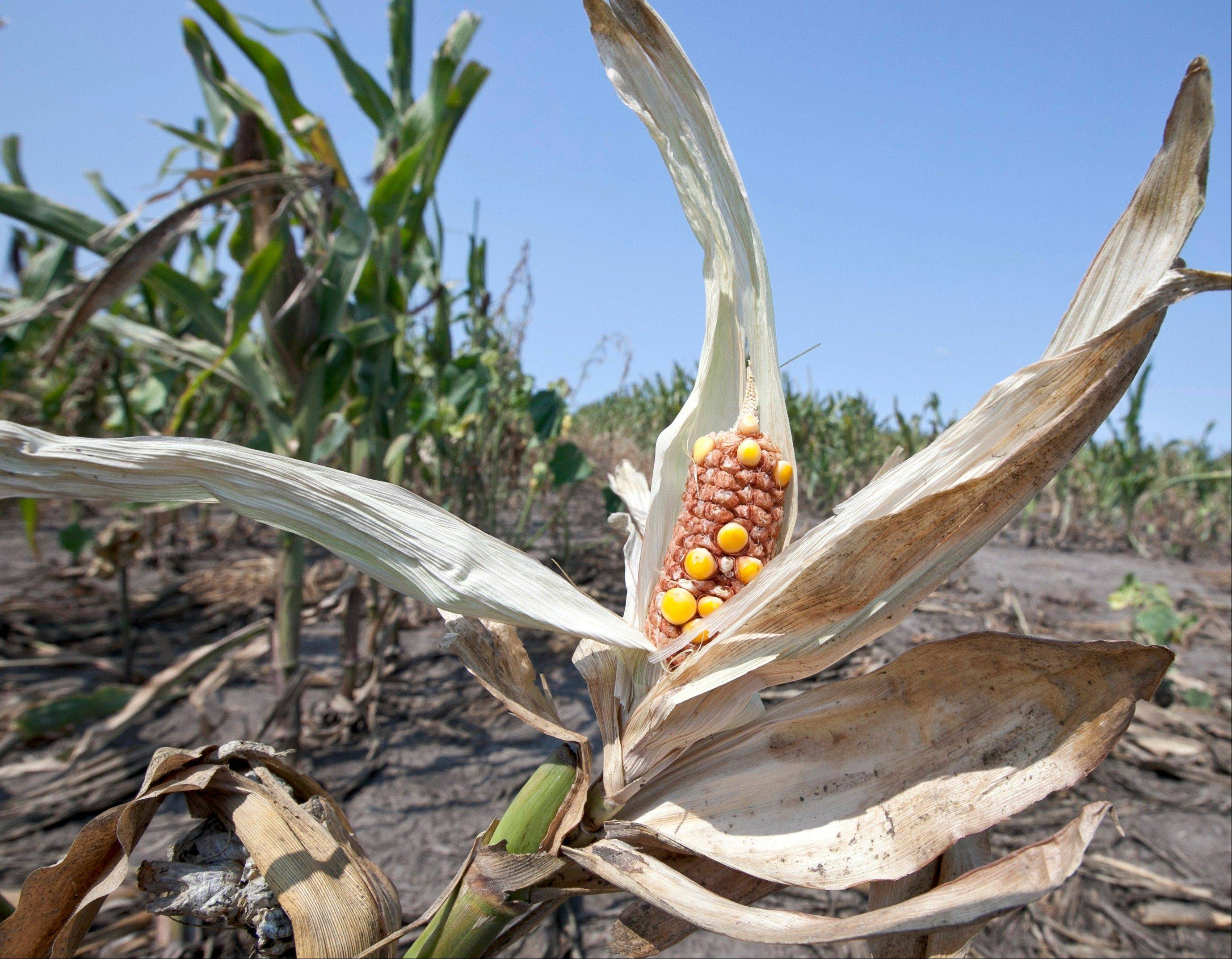 Associated Press/Aug. 16, 2012 Drought-damaged corn is cooked by the sun in a field near Nickerson, Nebraska. A new federal science report looking at last year�s Midwestern drought says it was a freak of nature that wasn�t caused by man-made global warming.