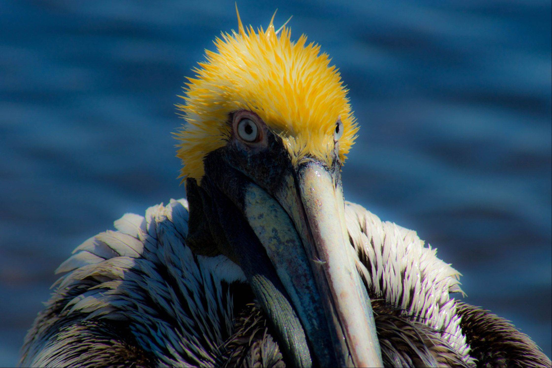 A pelican during spring break at St. Andrews State Park in Panama City, Florida.
