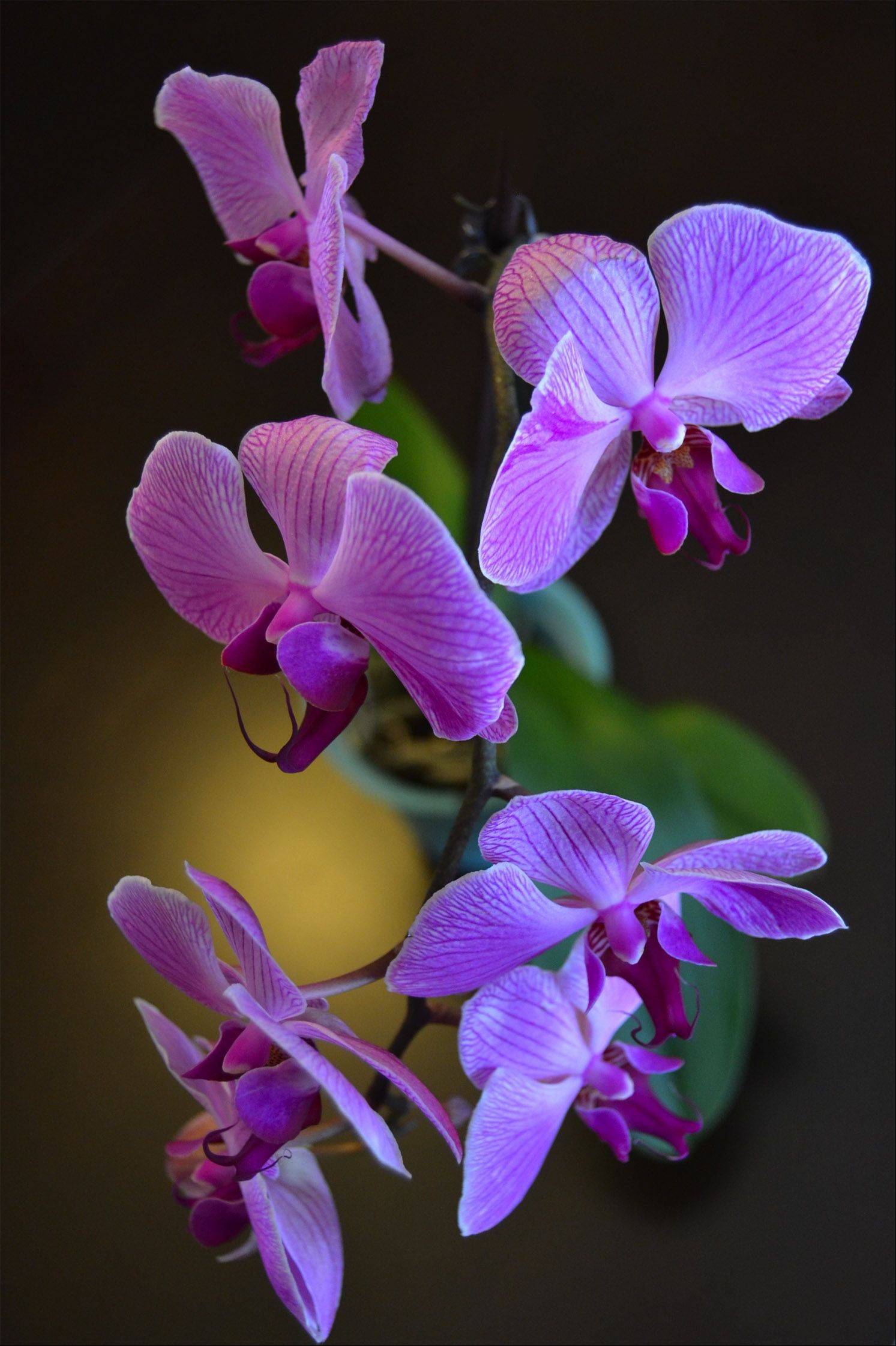The buds of as orchid bloom as they sit on a dinning room table to be enjoyed by the diners at every meal.