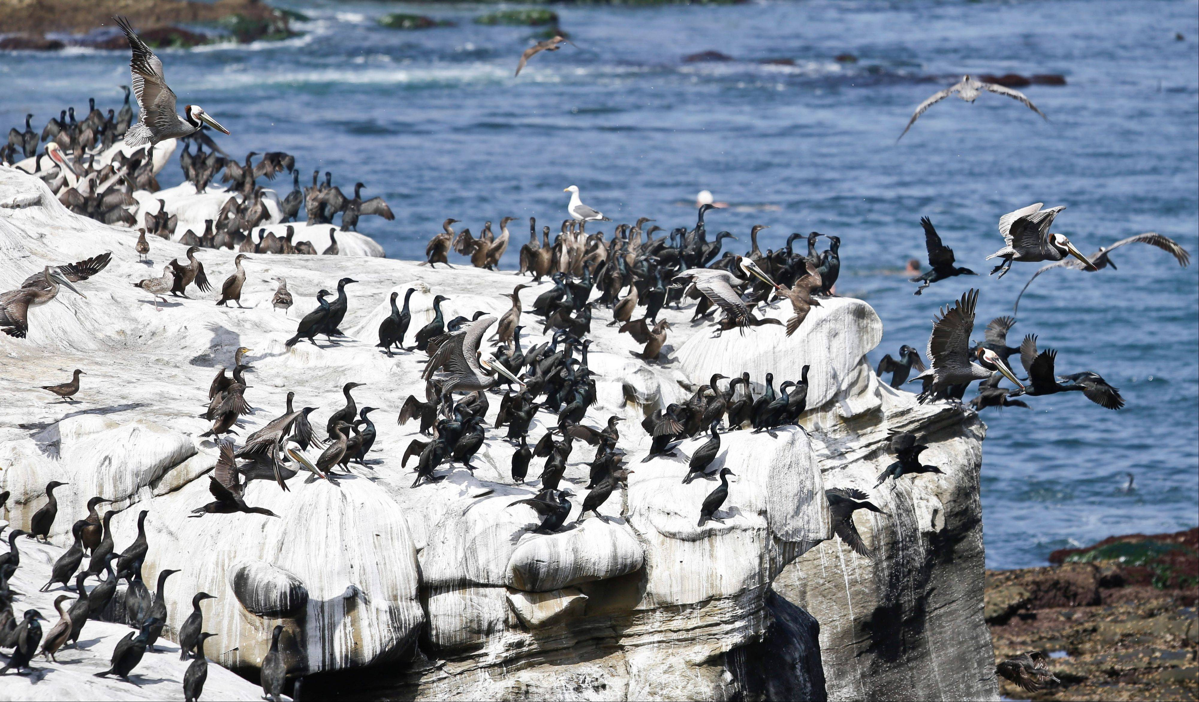Pelicans and cormorants gather on the cliffs above the cove in the affluent La Jolla section of San Diego. The birds have turned the cliffs white with their droppings and caused a stench in the area that draws tourist to restaurants and hotels.