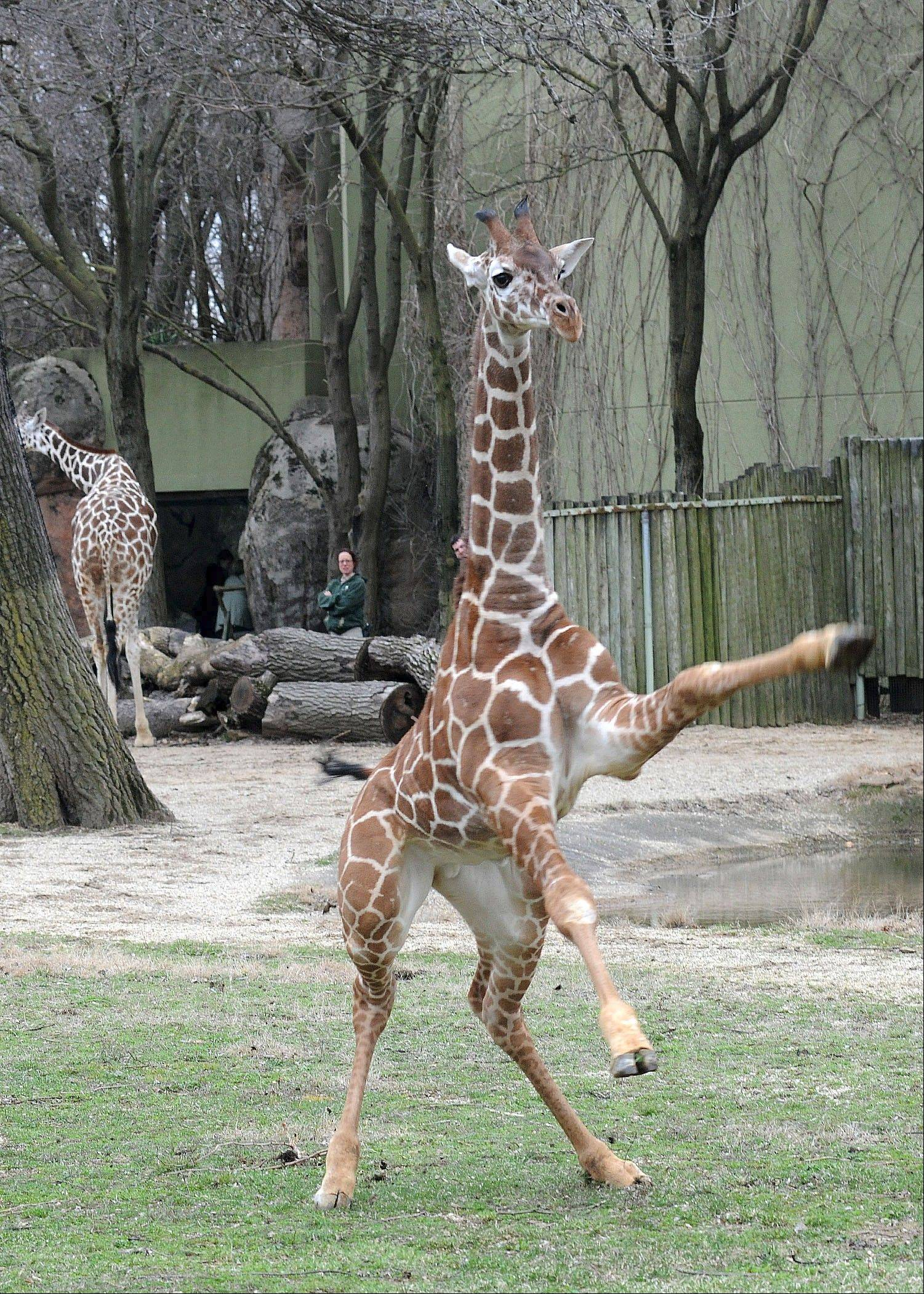 Dave, a 5-month-old giraffe, romps around his exhibit at Brookfield Zoo.