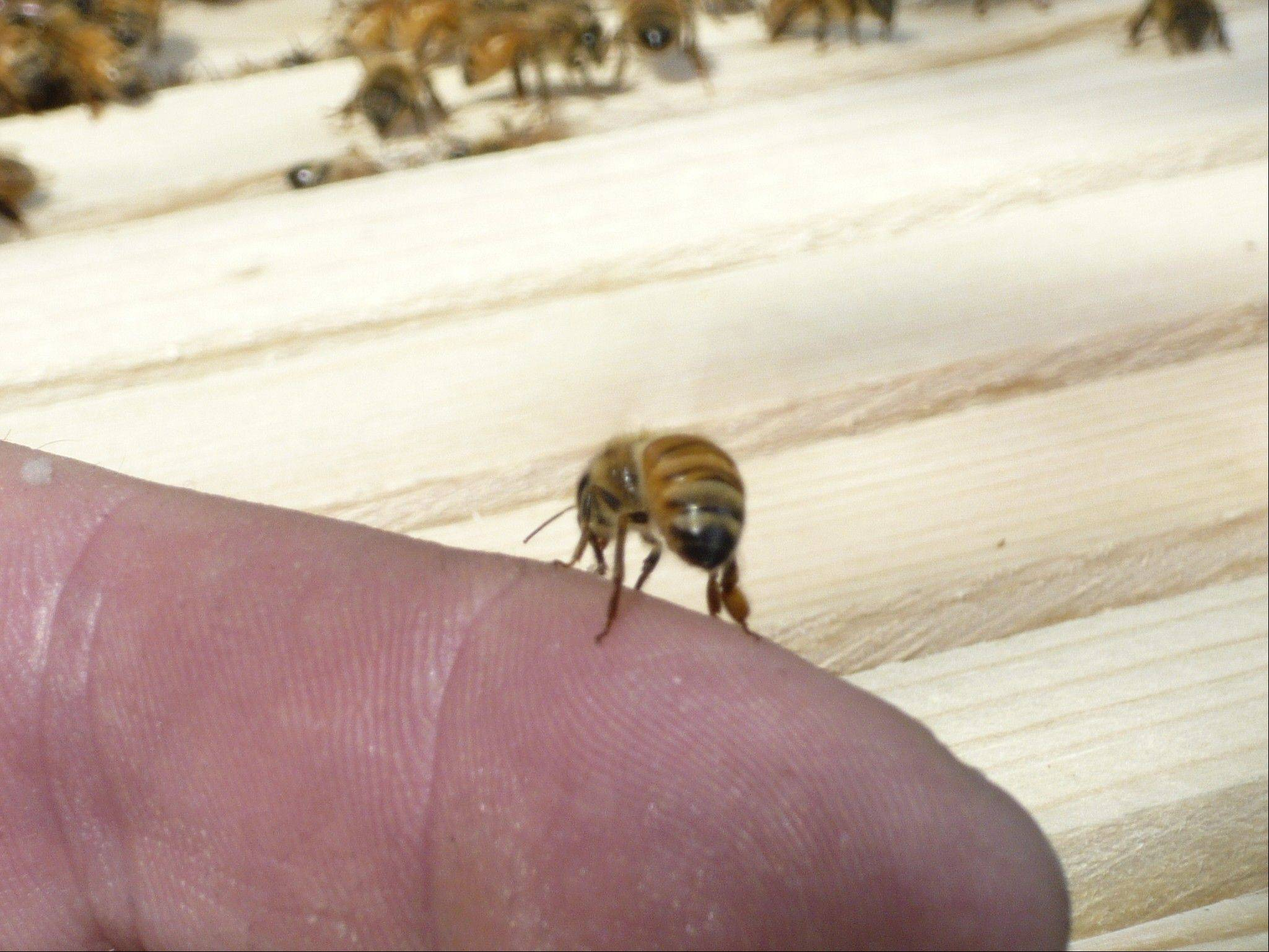 The Carpentersville Village Board is considering whether to lift its ban on bee keeping, which involves honeybees.