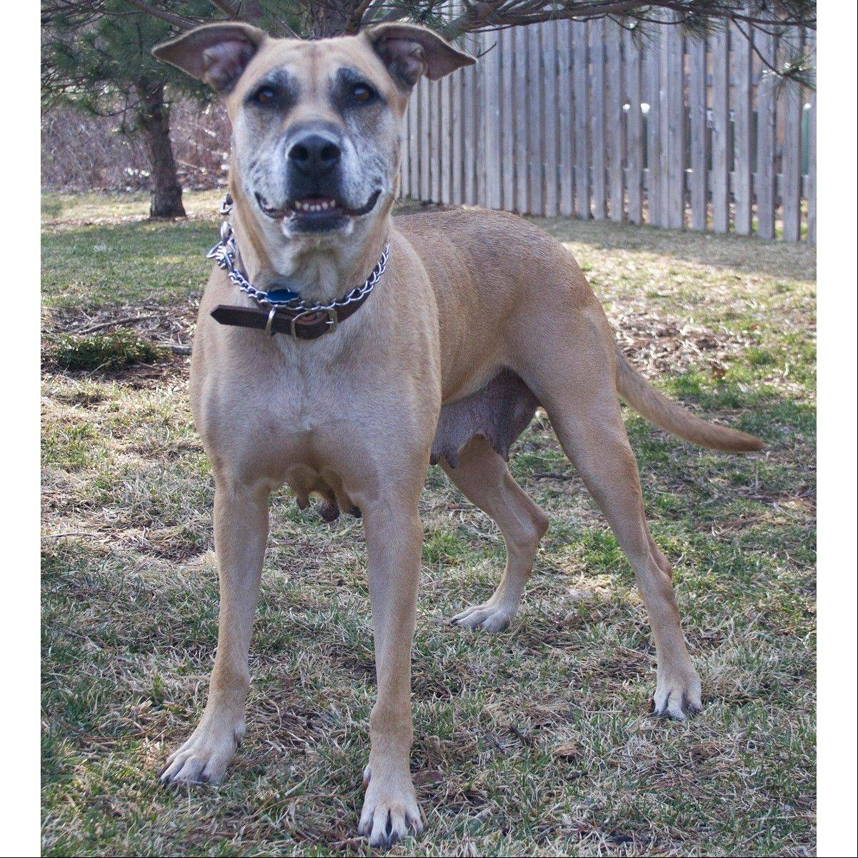 Bella is an 80-pound, Labrador retriever mix, who is about 6 years old. She wants a home with you.