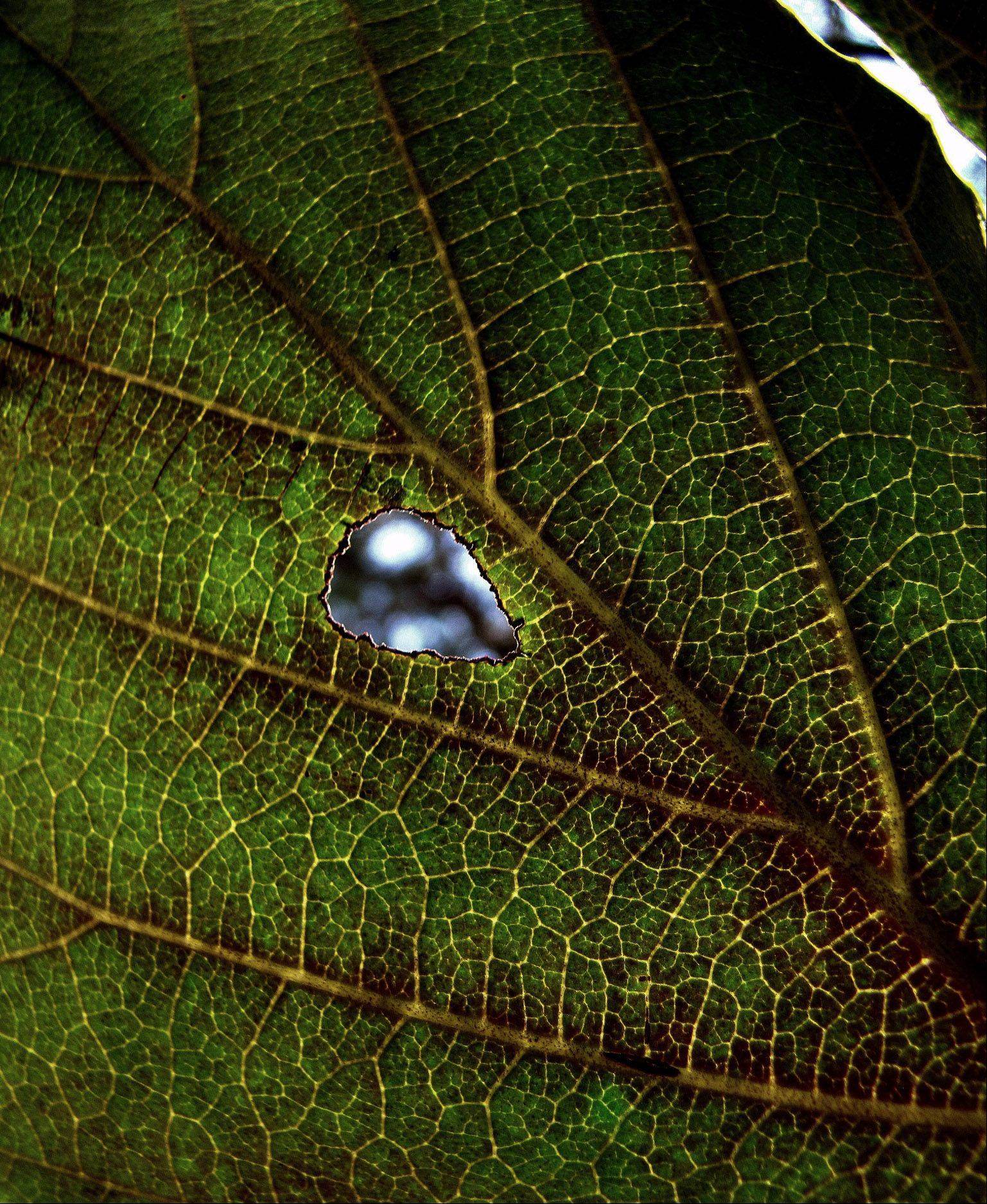 I am always amazed at the intricate details and beauty of the smallest things. This photo of a bug chewed leaf was taken at the Chicago Botanic Garden.