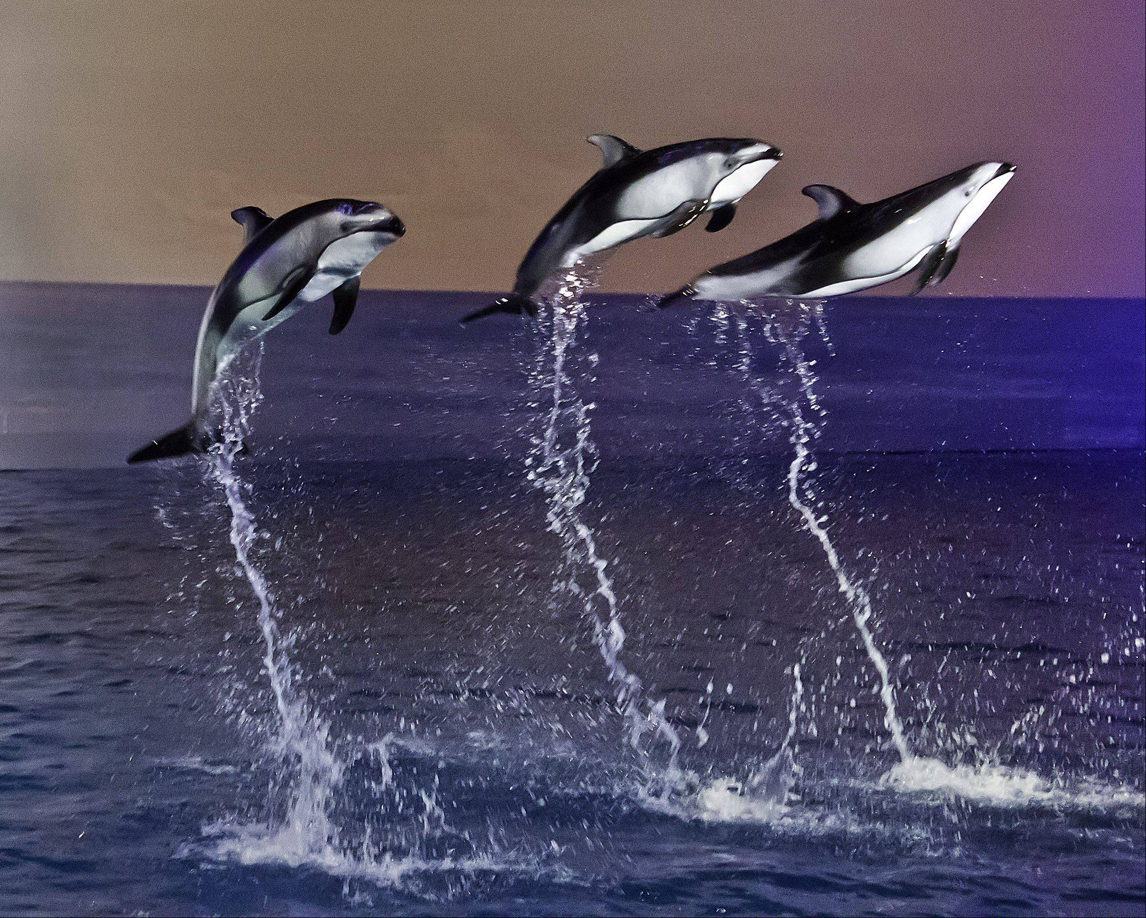 Dolphins jump in unison during a performance at the Shedd Aquarium on March 29th.
