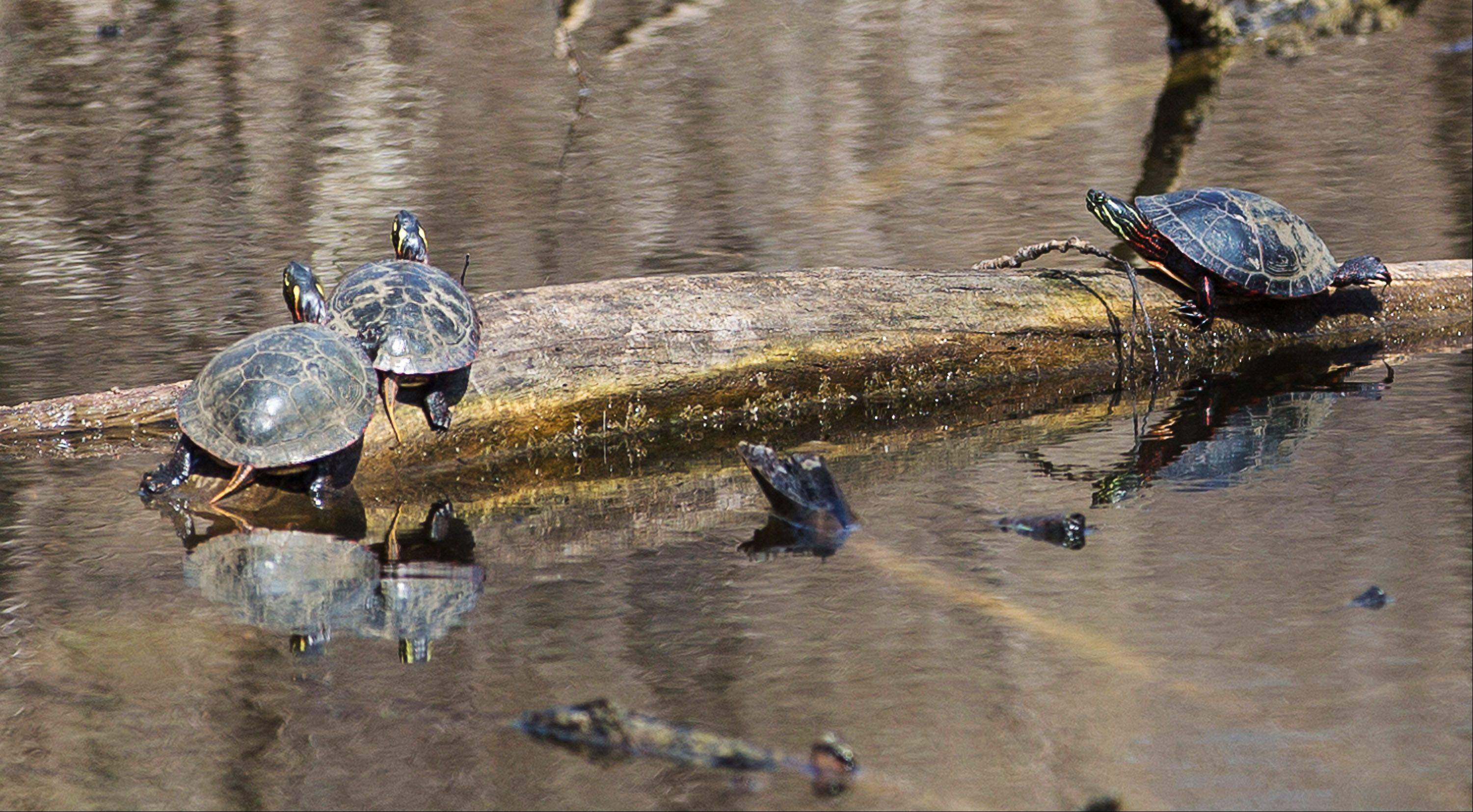Three turtles sun themselves on a log in Grant Woods Forest Preserve in Ingleside last week.