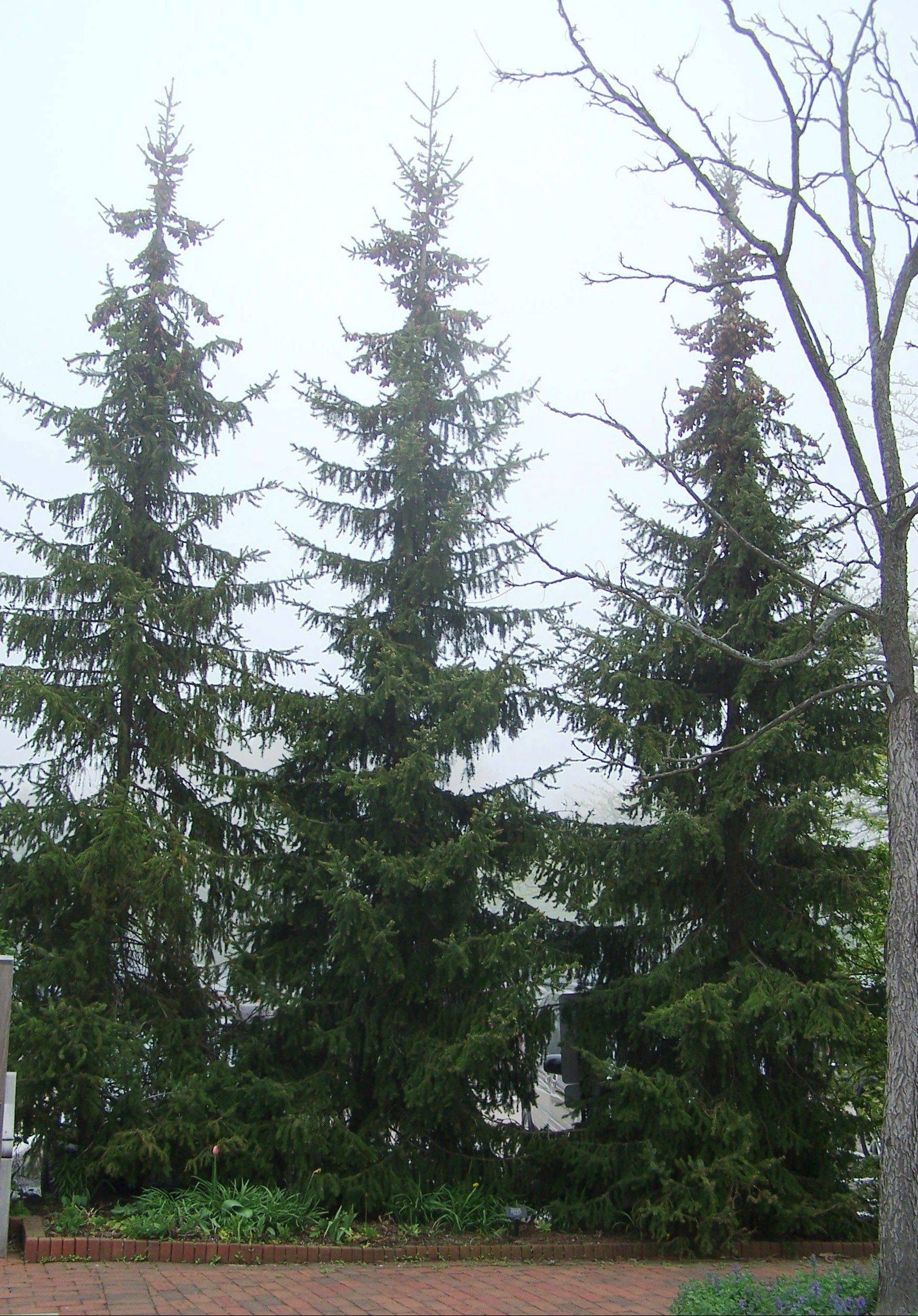 Evergreens block cold winter winds reducing heating costs