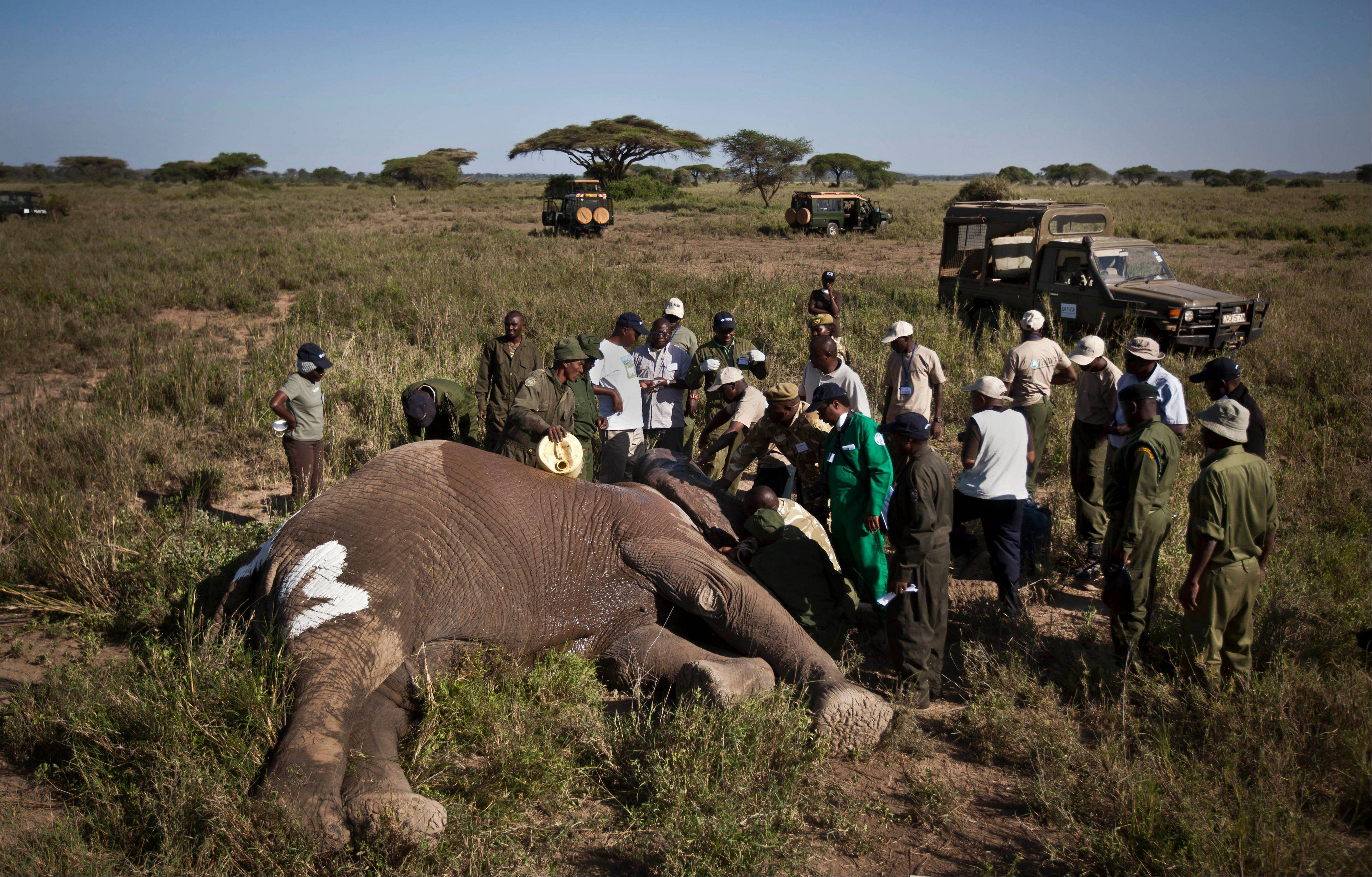 The Kenya Wildlife Service (KWS) and the International Fund for Animal Welfare (IFAW) teams fit a GPS-tracking collar onto a tranquilized 26-year-old male elephant, to monitor migration routes and to help prevent poaching, at the Kimana Wildlife Sanctuary next to Amboseli National Park in southern Kenya, near the border with Tanzania.